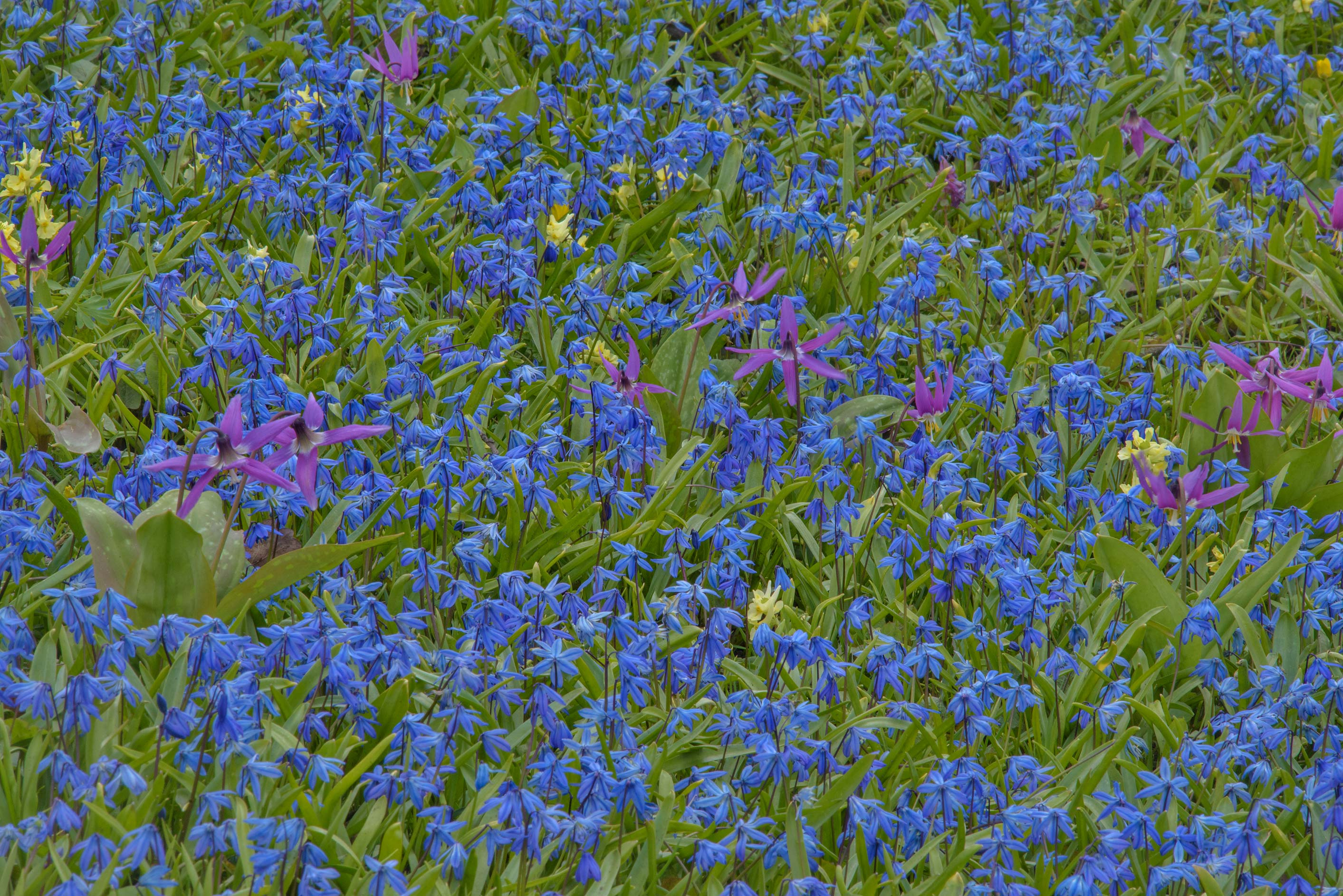 photo 2033-26: carpet of flowers of lesser glory-of-the-snow