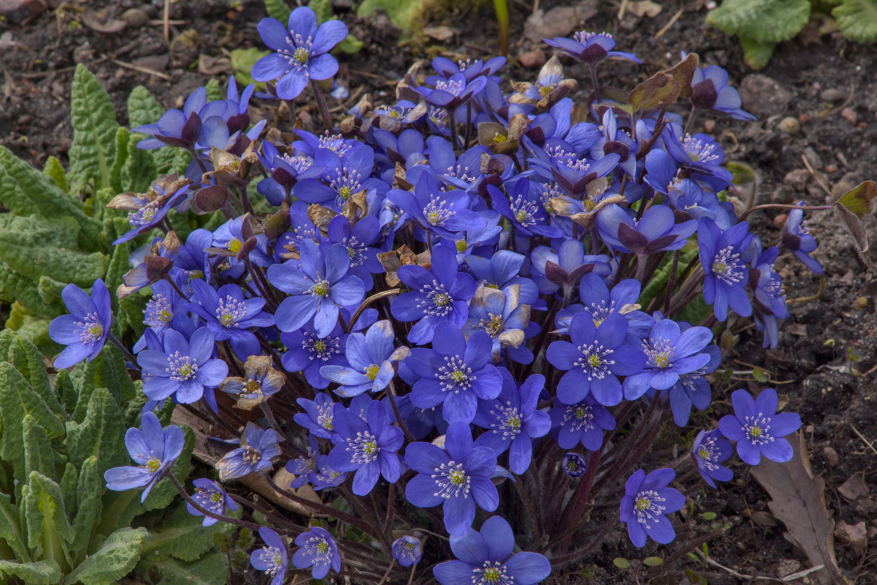 Blue flowers of Liverleaf (Hepatica nobilis) in...Institute. St.Petersburg, Russia