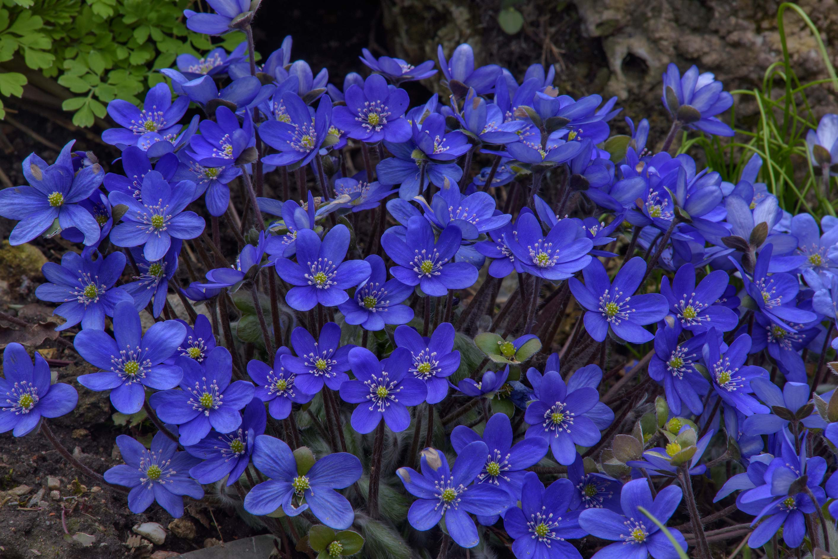Masses of blue flowers of Liverleaf (Hepatica...Institute. St.Petersburg, Russia