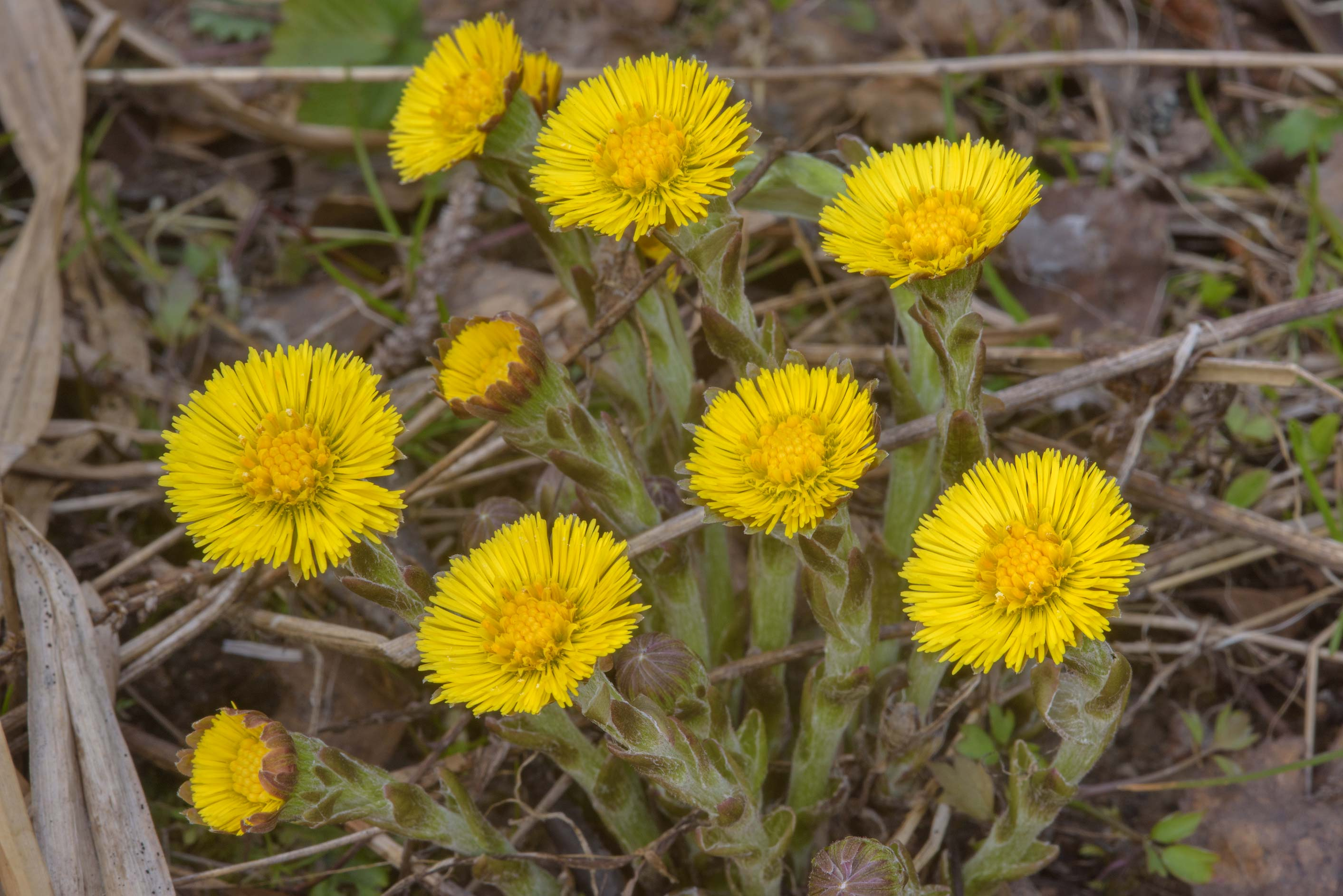 Coltsfoot (Tussilago farfara, Russian name Mat I...north-west from St.Petersburg. Russia