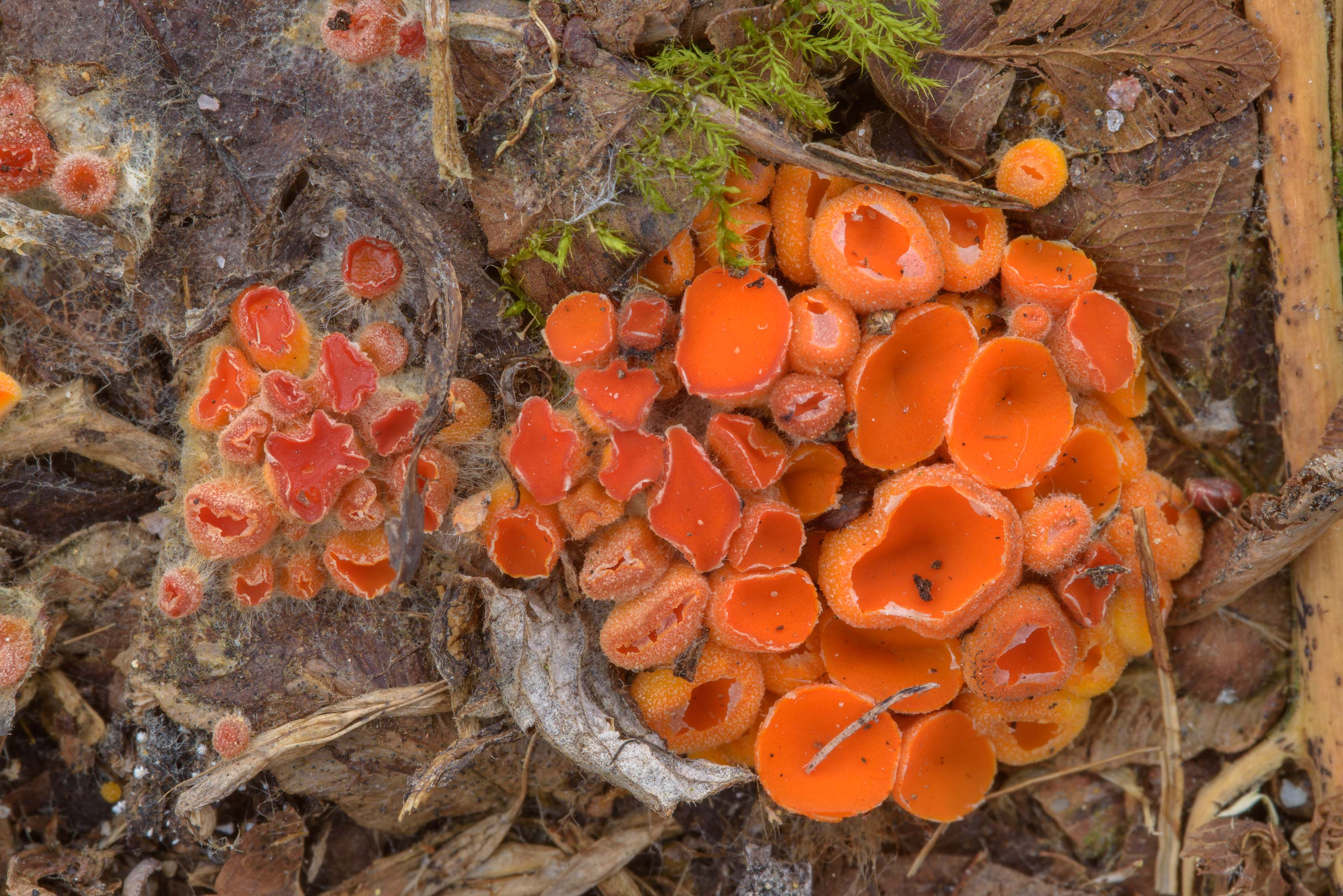 Cluster of Byssonectria terrestris mushrooms in...miles north from St.Petersburg. Russia