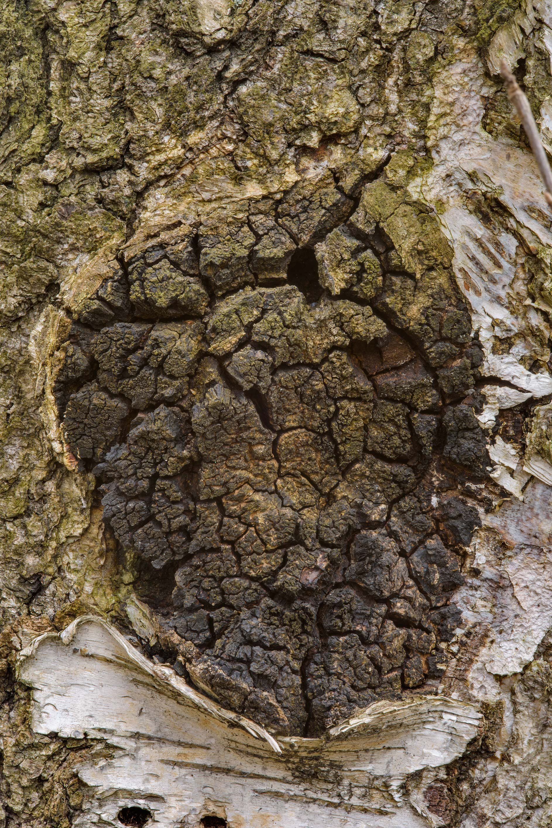 Texture of chaga (Inonotus obliquus) on a birch...Sosnovka Park. St.Petersburg, Russia