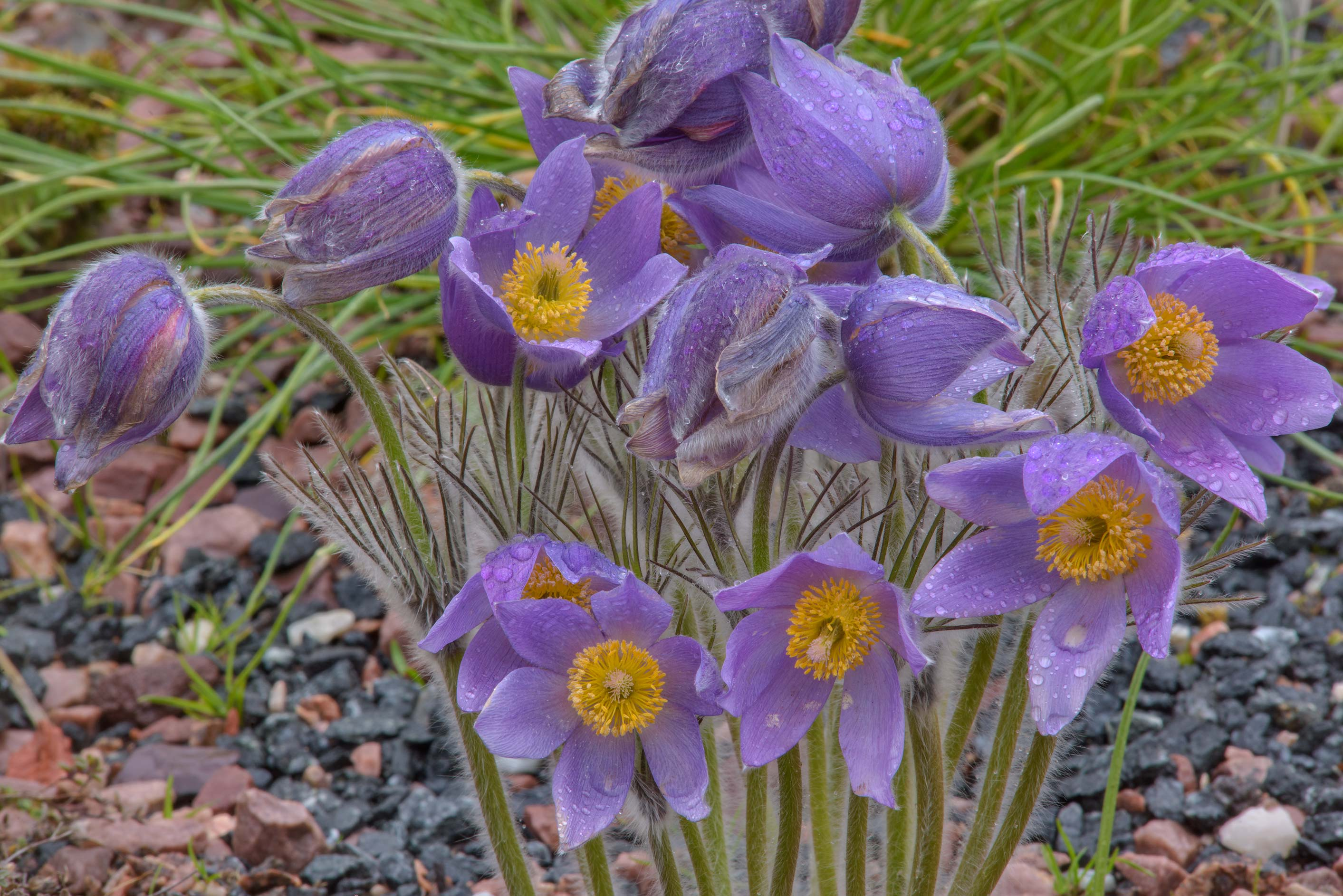 Purple pasque flower (Pulsatilla) in Botanic...Institute. St.Petersburg, Russia