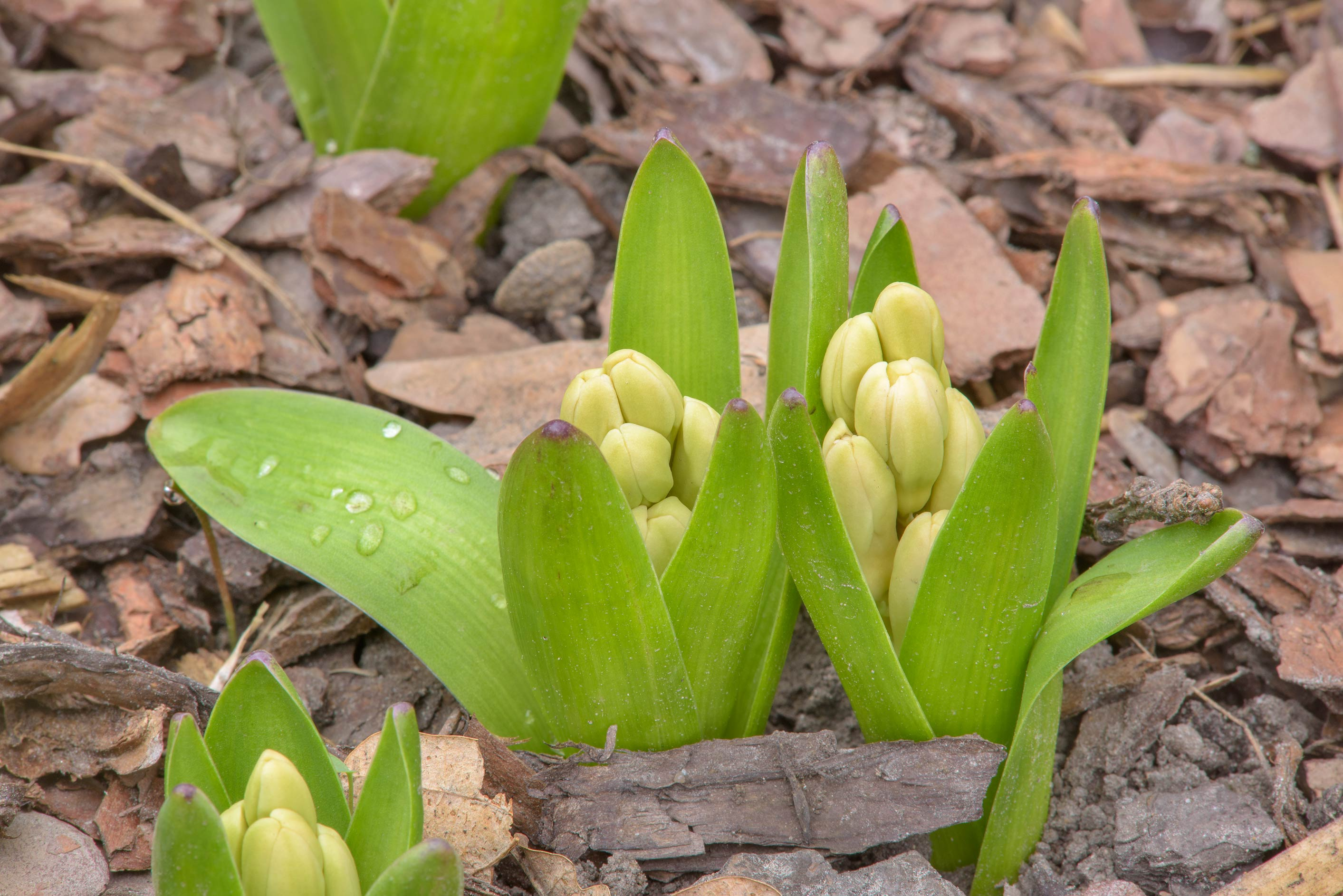 Hyacinth buds in Botanic Gardens of Komarov Botanical Institute. St.Petersburg, Russia