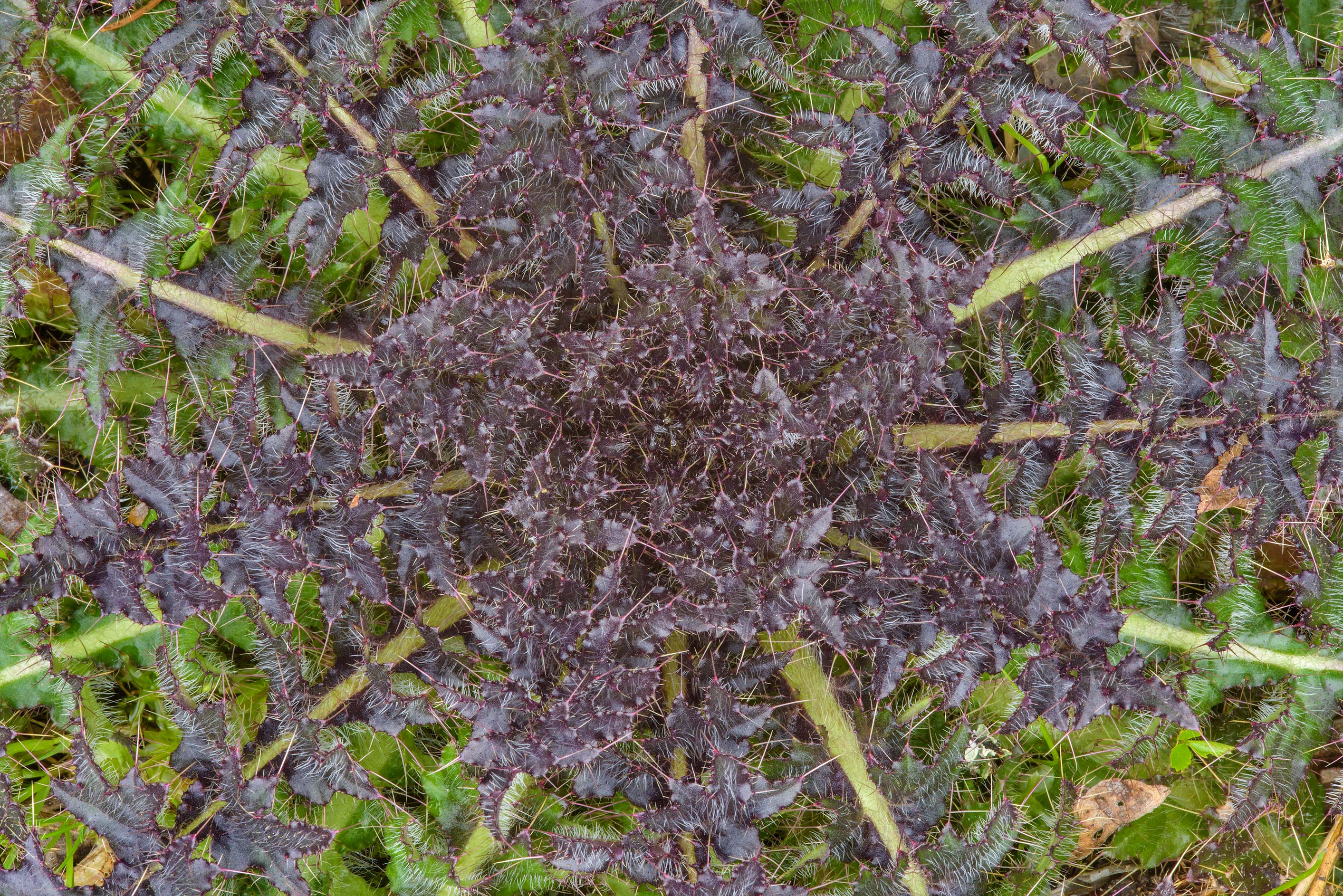 Details of a winter rosette of thistle under...in Dibuny, near St.Petersburg. Russia