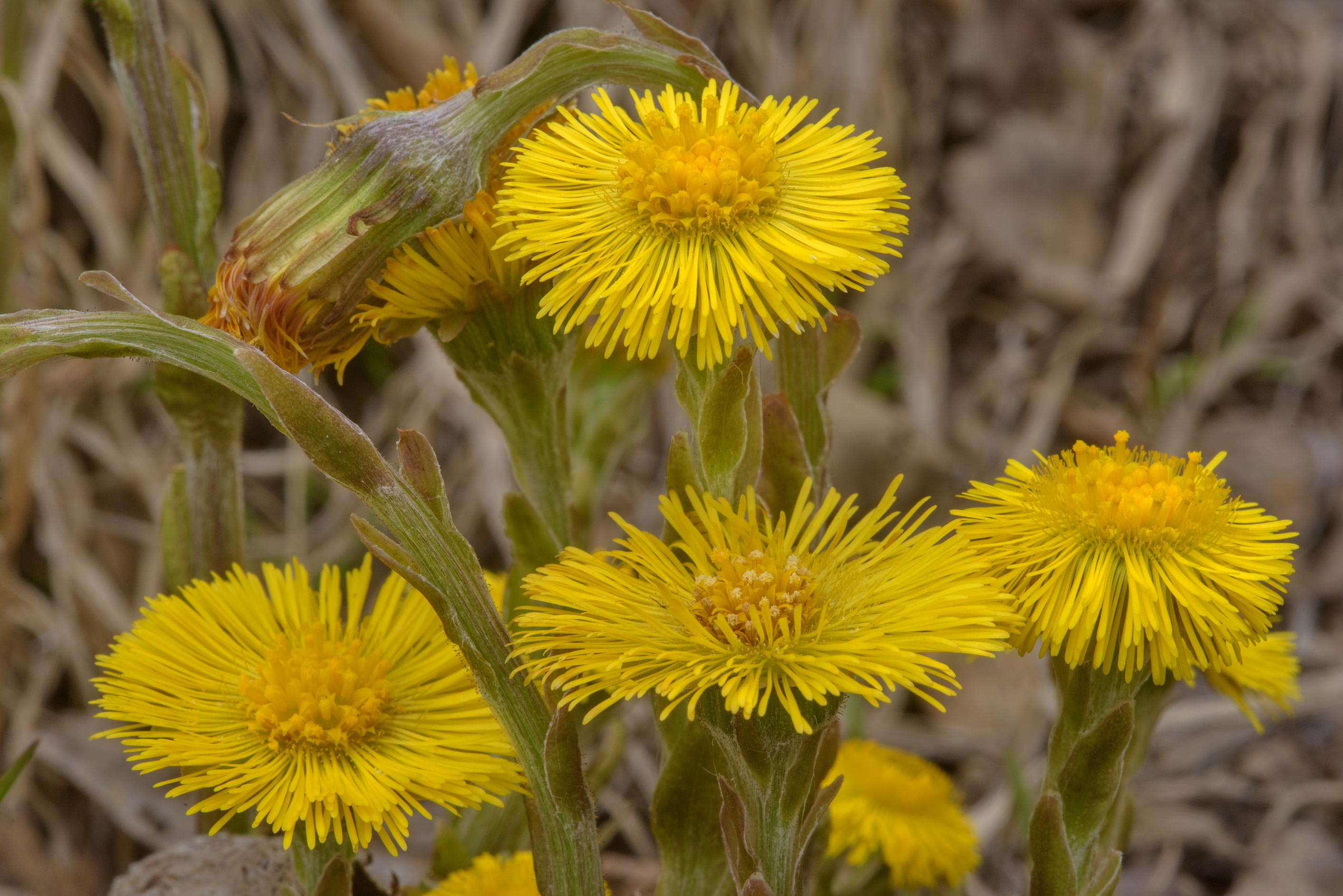 Coltsfoot (Tussilago farfara, Russian name Mat I...in Dibuny, near St.Petersburg. Russia