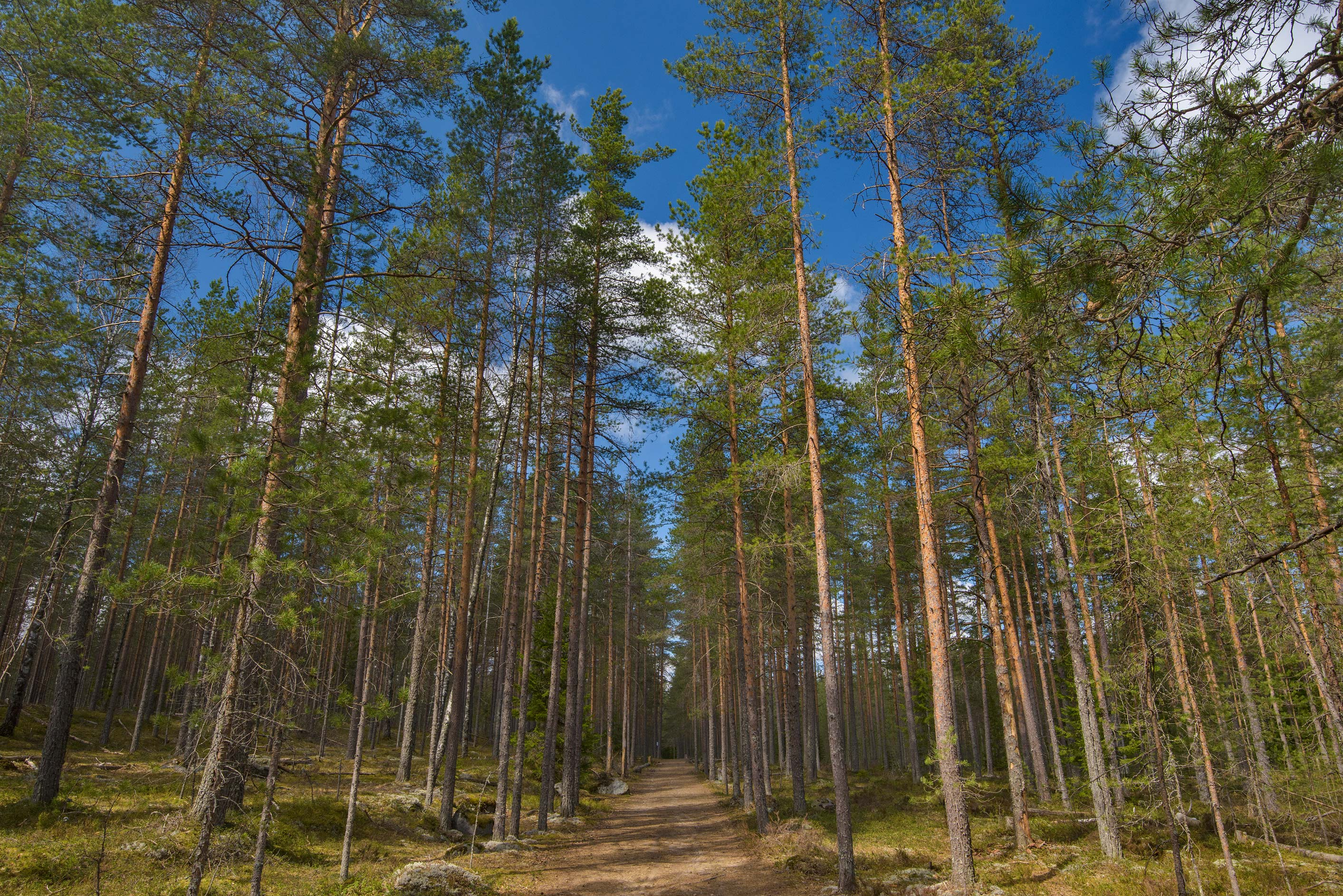 Pine forest in Zakhodskoe (Lounatjoki), 50 miles north from St.Petersburg. Russia