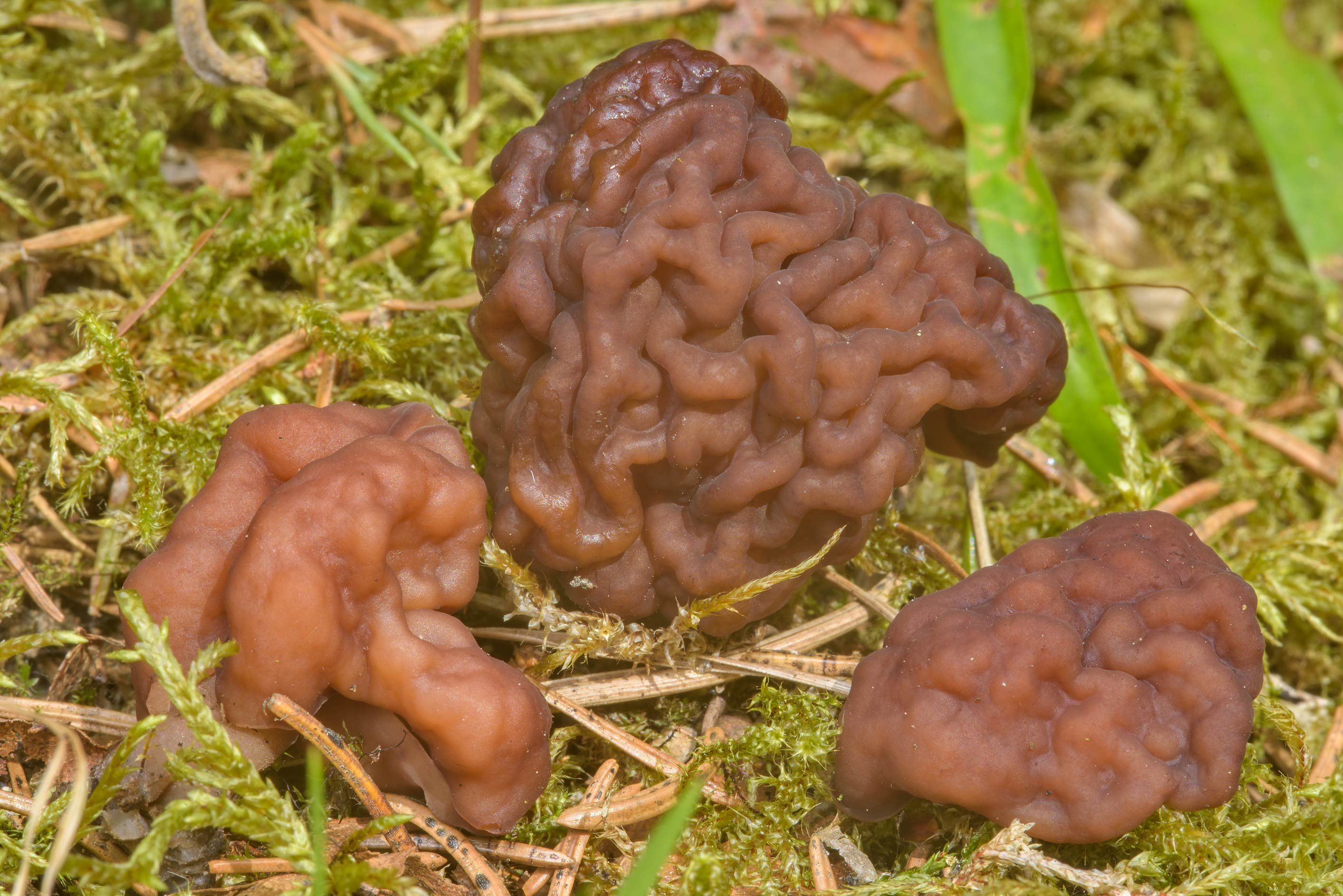 False morel mushrooms (Gyromitra esculenta) on...miles north from St.Petersburg. Russia