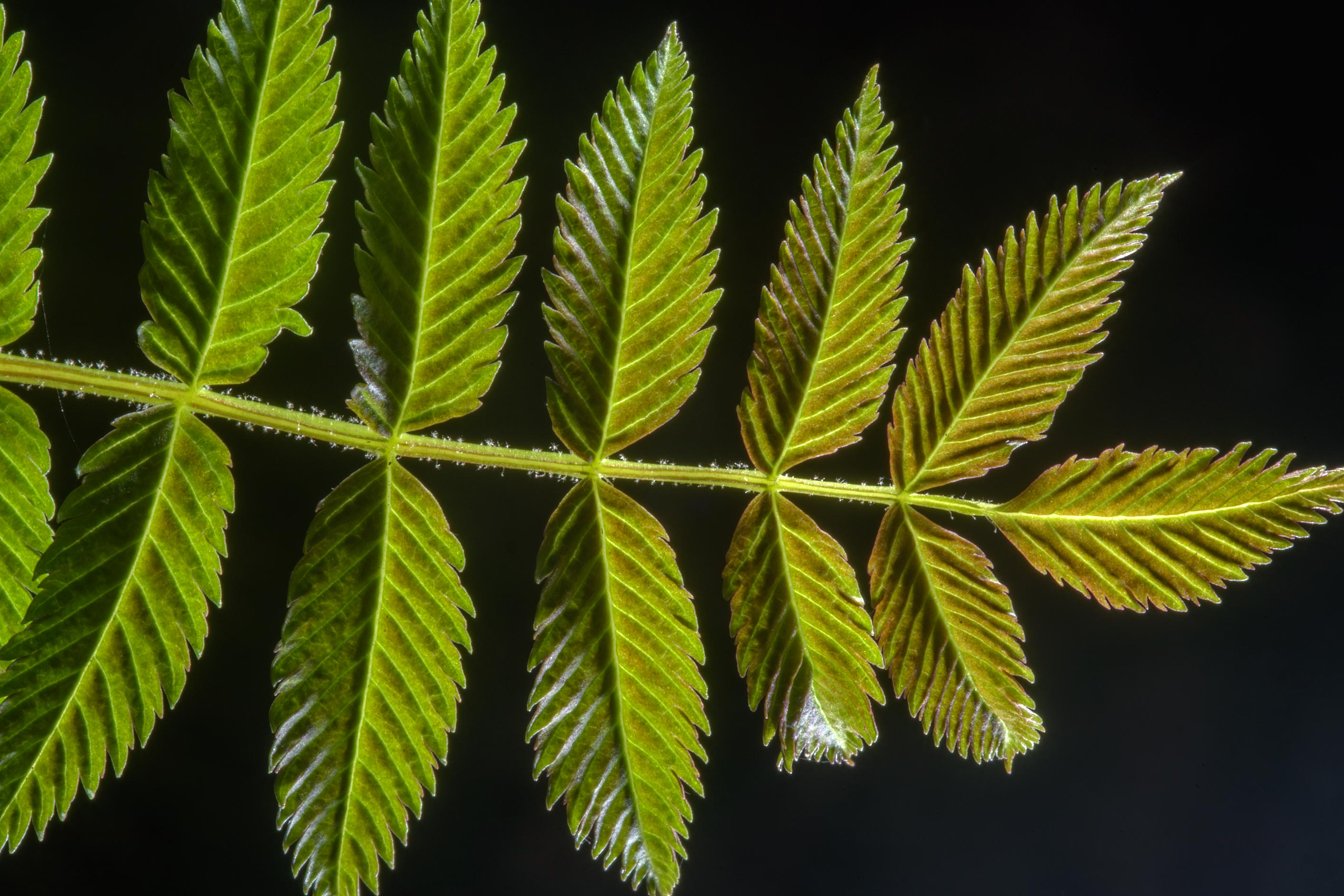 Back lit leaf of mountain ash (Sorbus aucuparia...Sosnovka Park. St.Petersburg, Russia