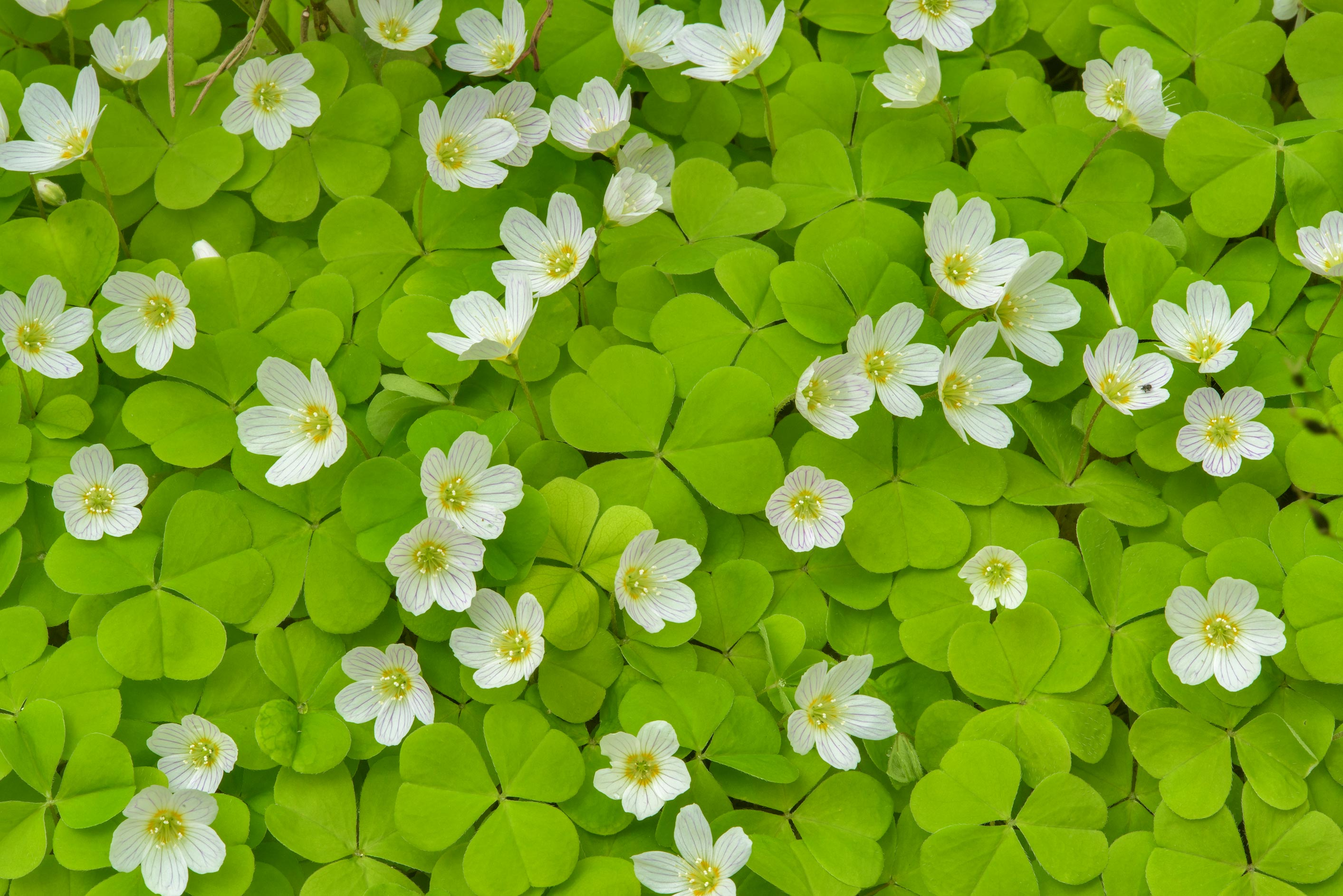 Carpet of flowers of wood sorrel (Oxalis...Sosnovka Park. St.Petersburg, Russia