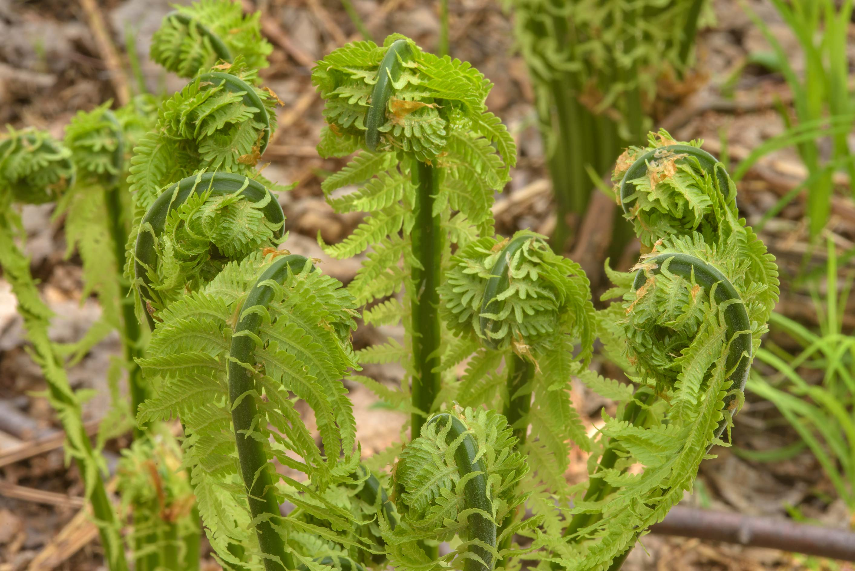 Fiddleheads of fern in Kuzmolovo, north from St.Petersburg. Russia