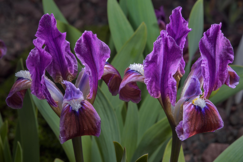 Photo 2045 18 Flowers Of Pygmy Iris Iris Pumila In Botanic