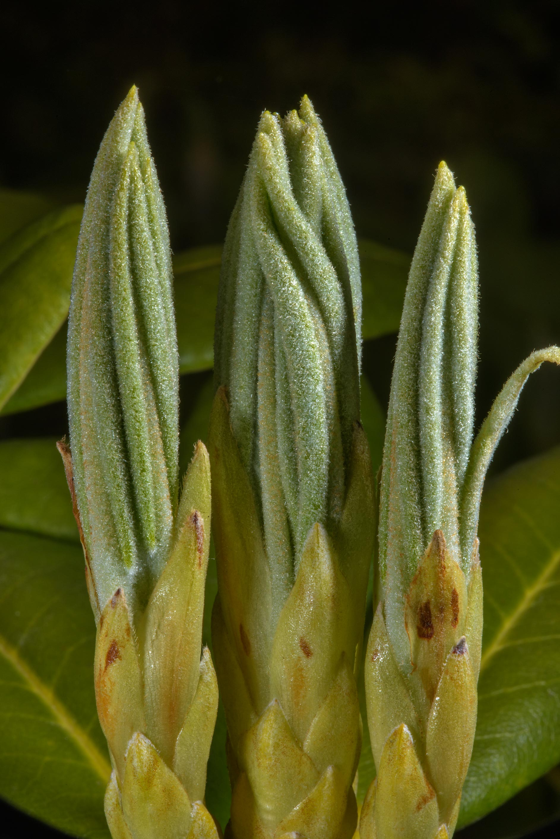 Buds of asalea (Rhododendron) in Botanic Gardens...Institute. St.Petersburg, Russia