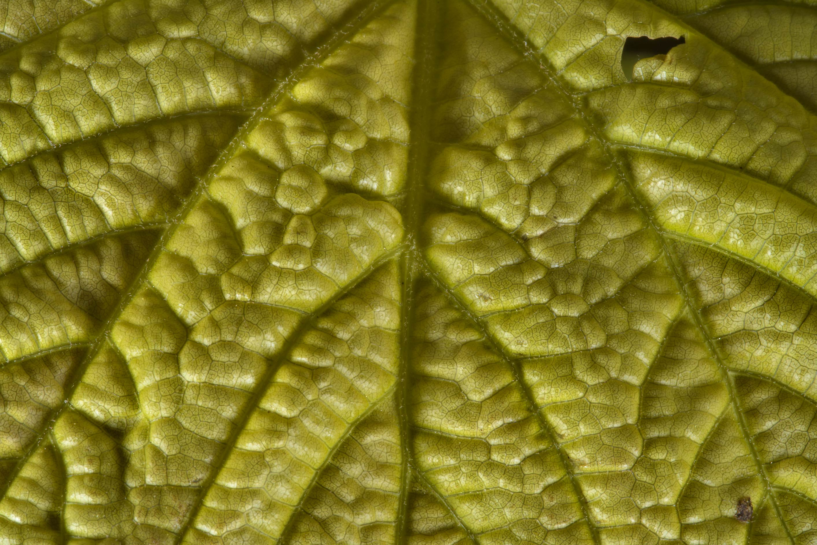 Back lit wrinkled leaf in Botanic Gardens of...Institute. St.Petersburg, Russia