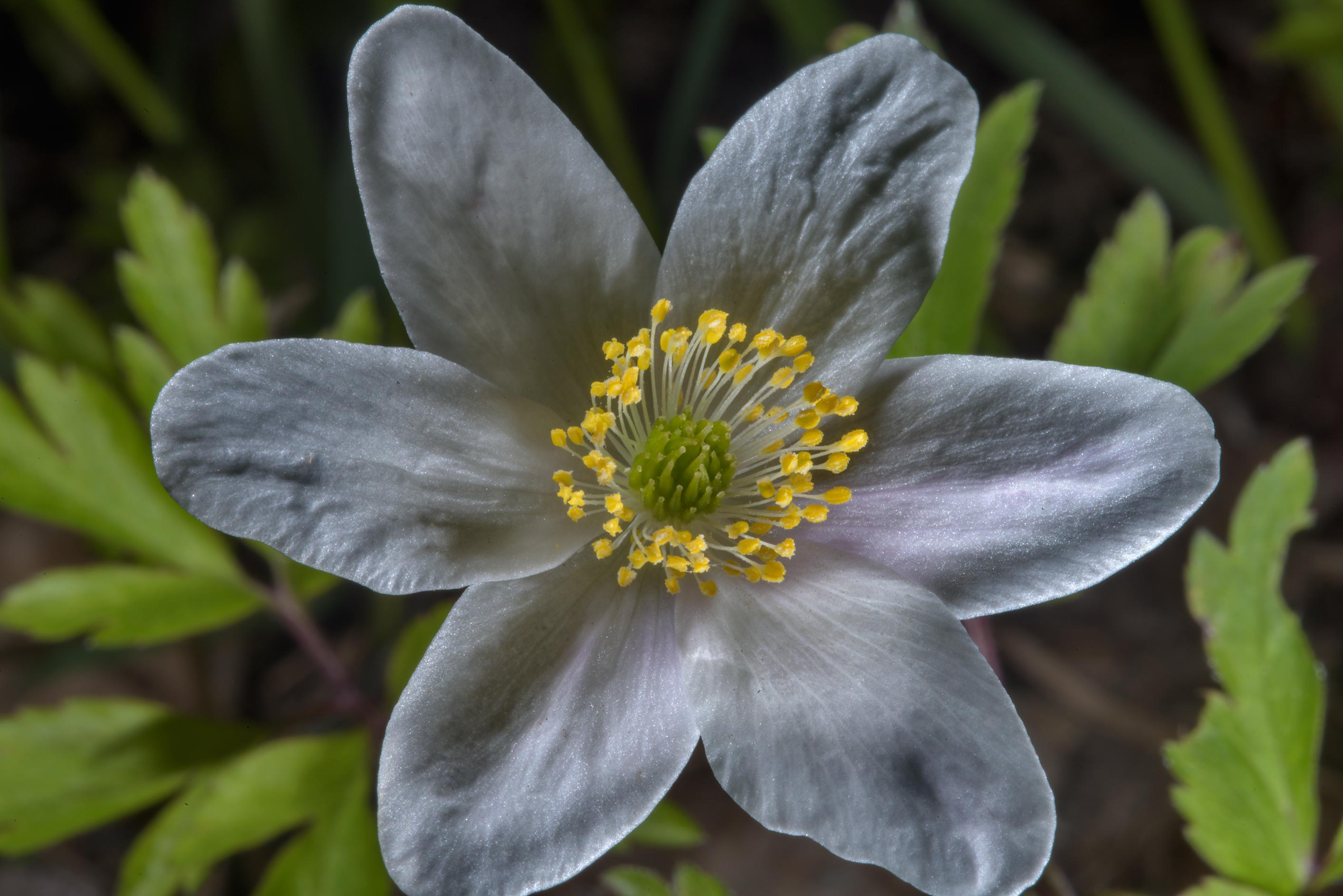 Close up of wood anemone (Anemone nemorosa) in...West from St.Petersburg, Russia