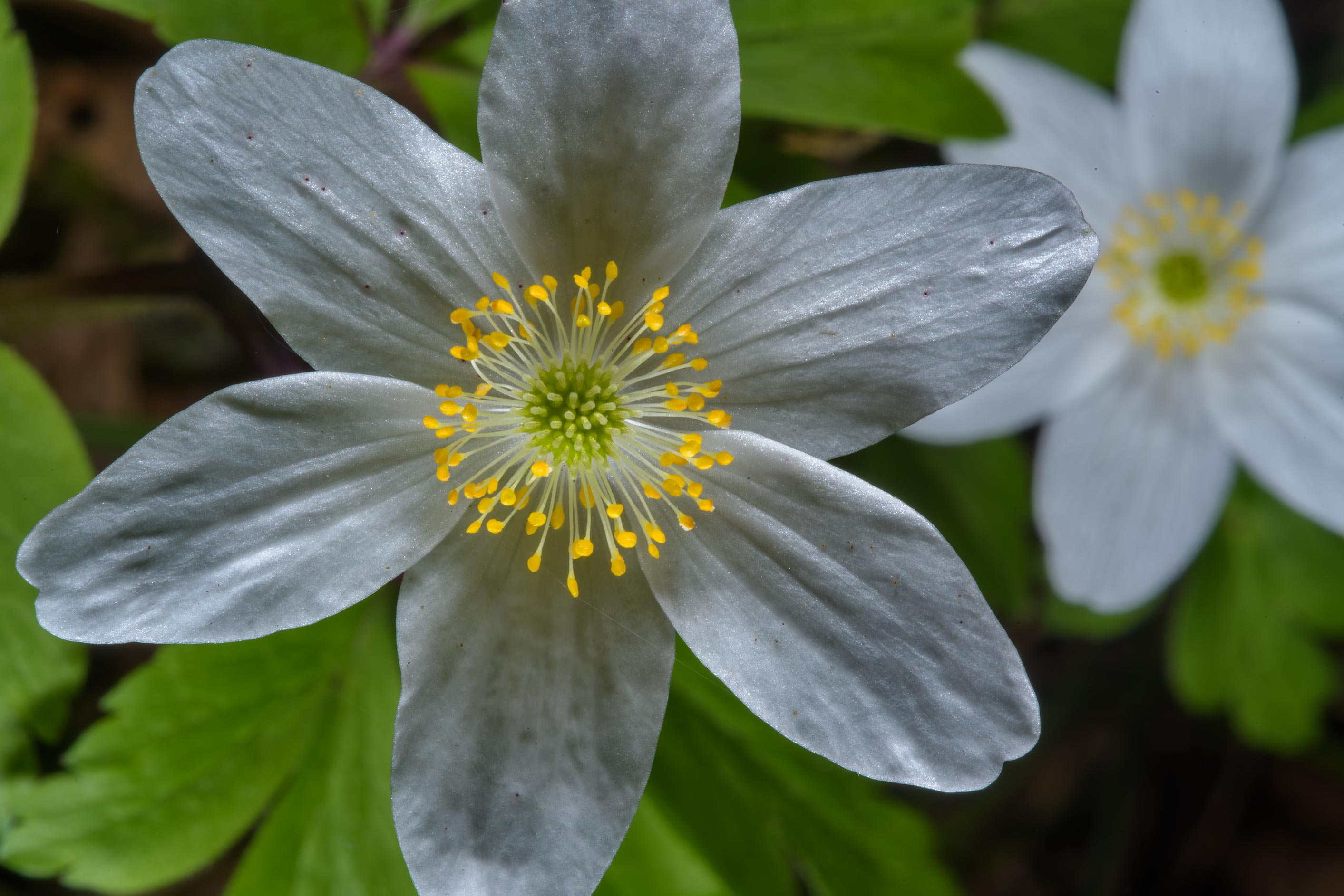Flowers of wood anemone (Anemone nemorosa) in...West from St.Petersburg, Russia