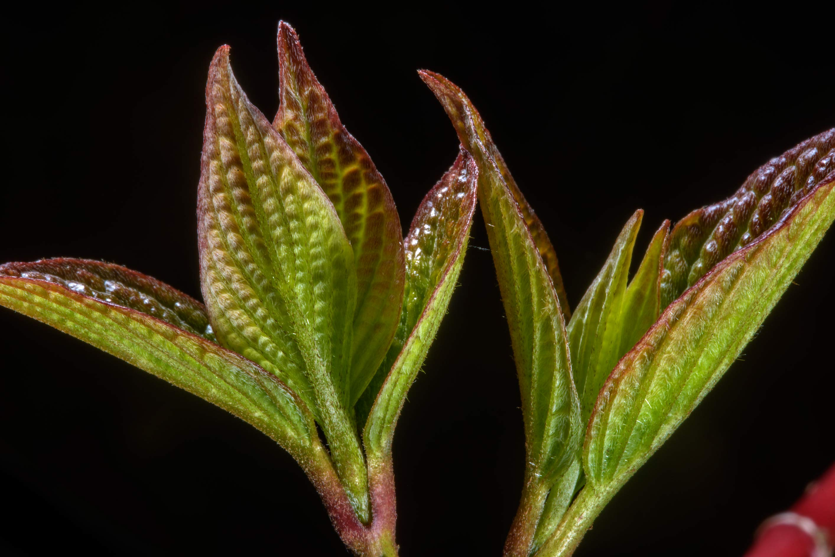 Young leaves of red-barked dogwood (Cornus alba...West from St.Petersburg, Russia