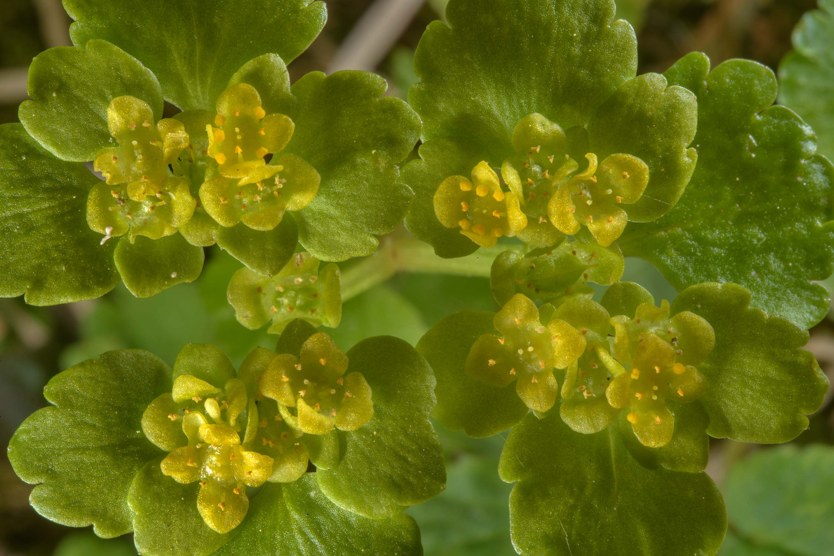 Alternate-leaved Golden Saxifrage (Chrysosplenium...West from St.Petersburg, Russia