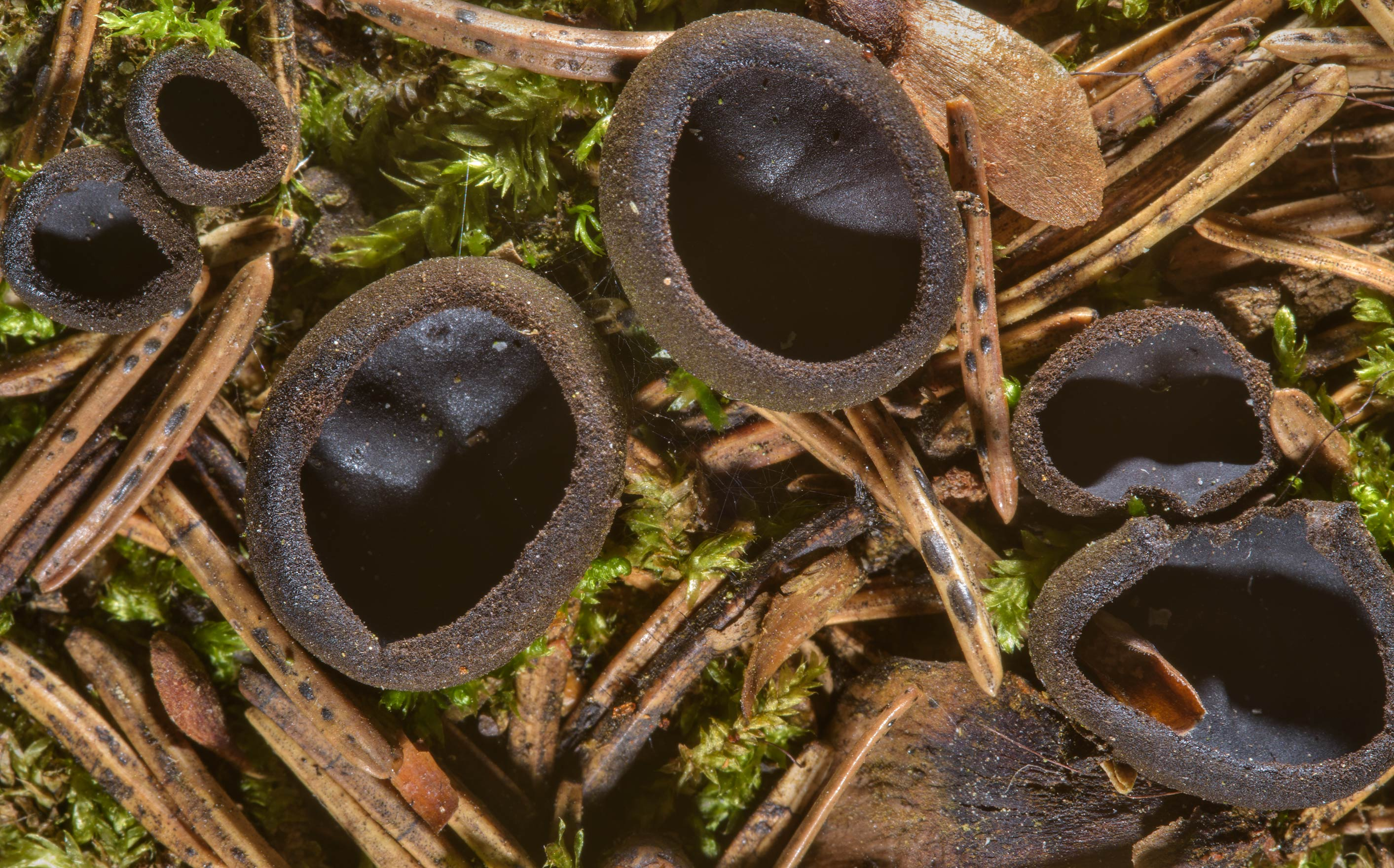 Ebony cup mushrooms (Pseudoplectania nigrella) on...suburb of St.Petersburg, Russia