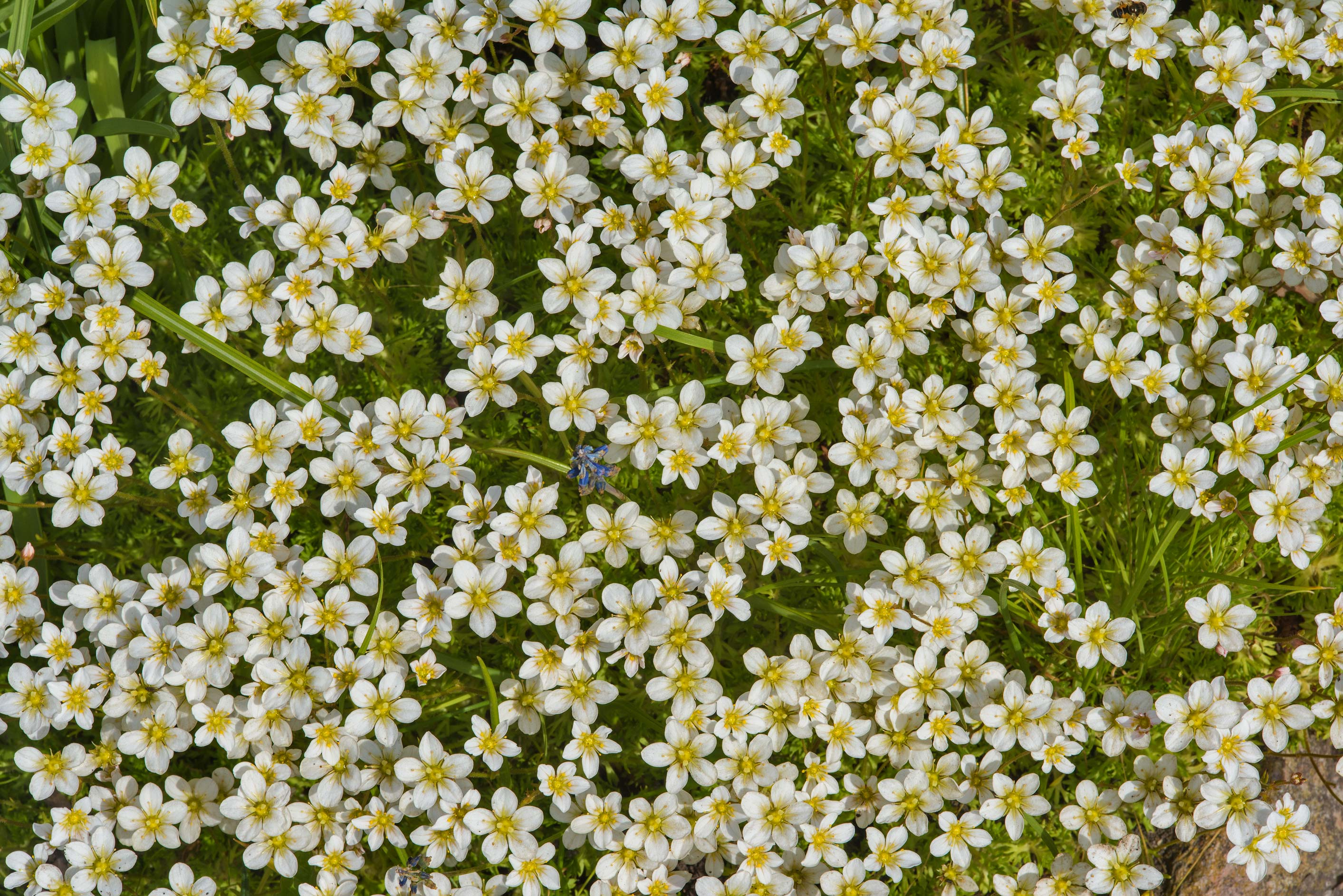 Small white flowers of rockfoils (saxifraga) in...Institute. St.Petersburg, Russia