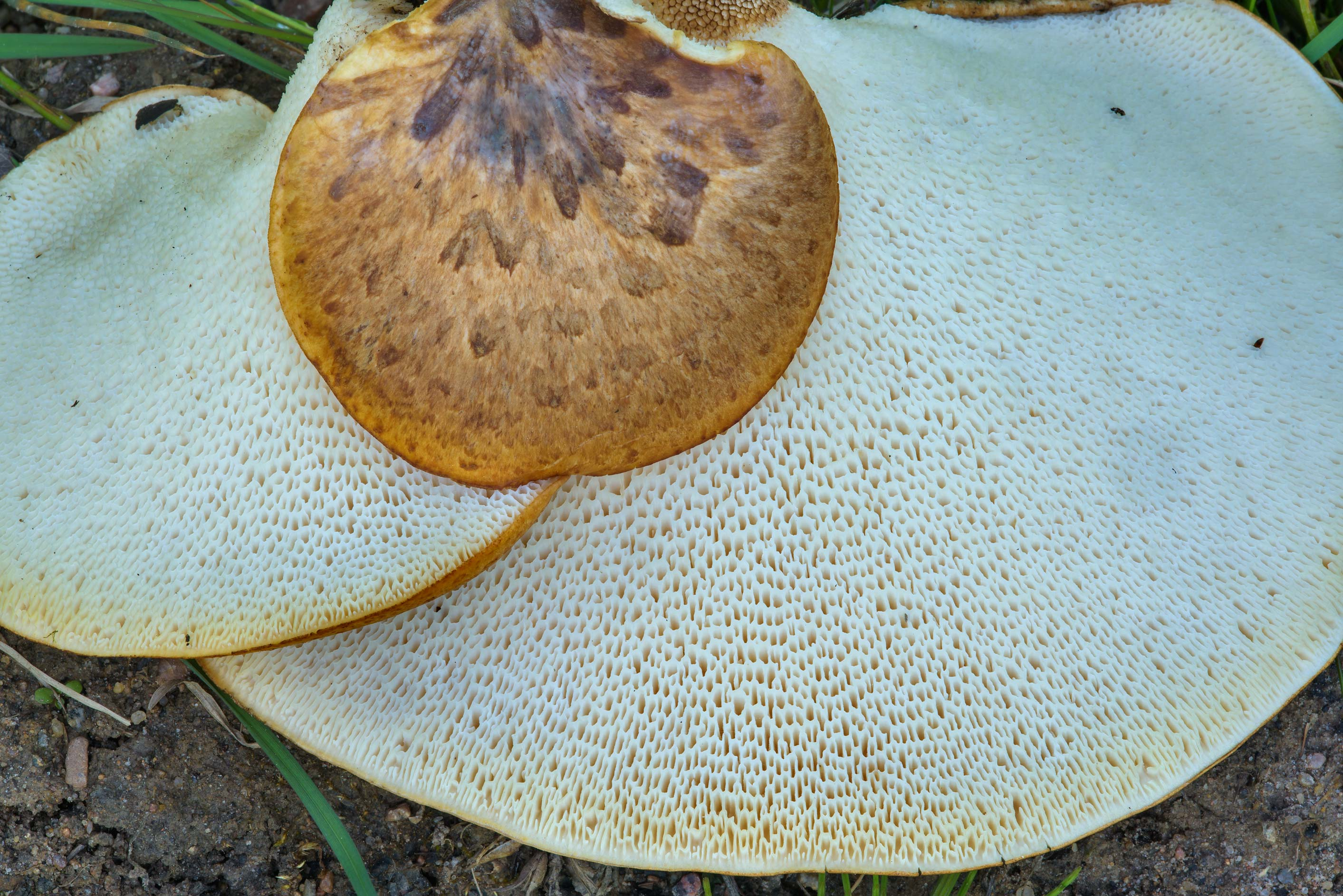 Caps of dryad's saddle (Cerioporus squamosus...Nos, west from St.Petersburg. Russia