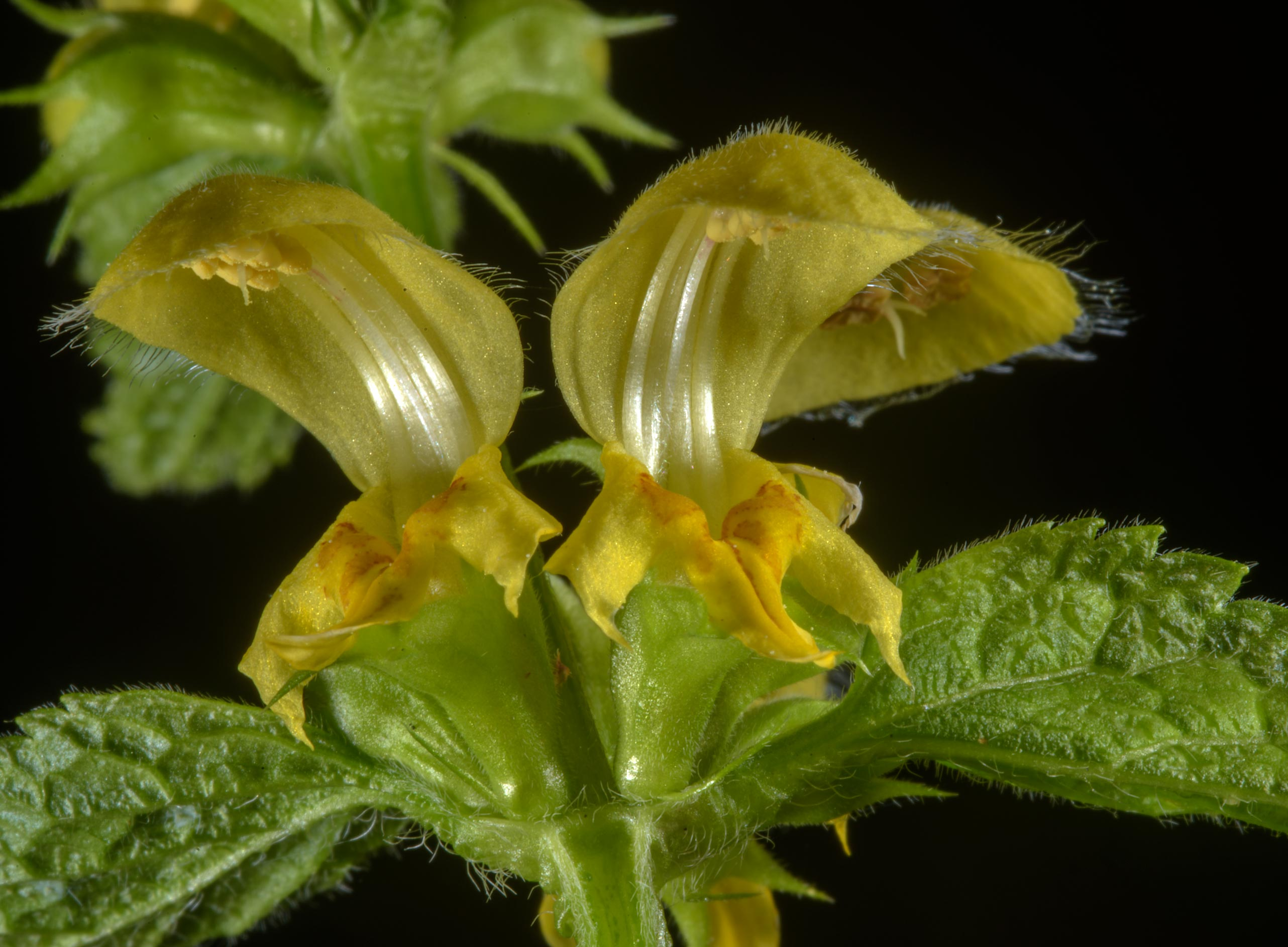 Yellow Archangel (Lamiastrum galeobdolon, dead...Nos, west from St.Petersburg. Russia
