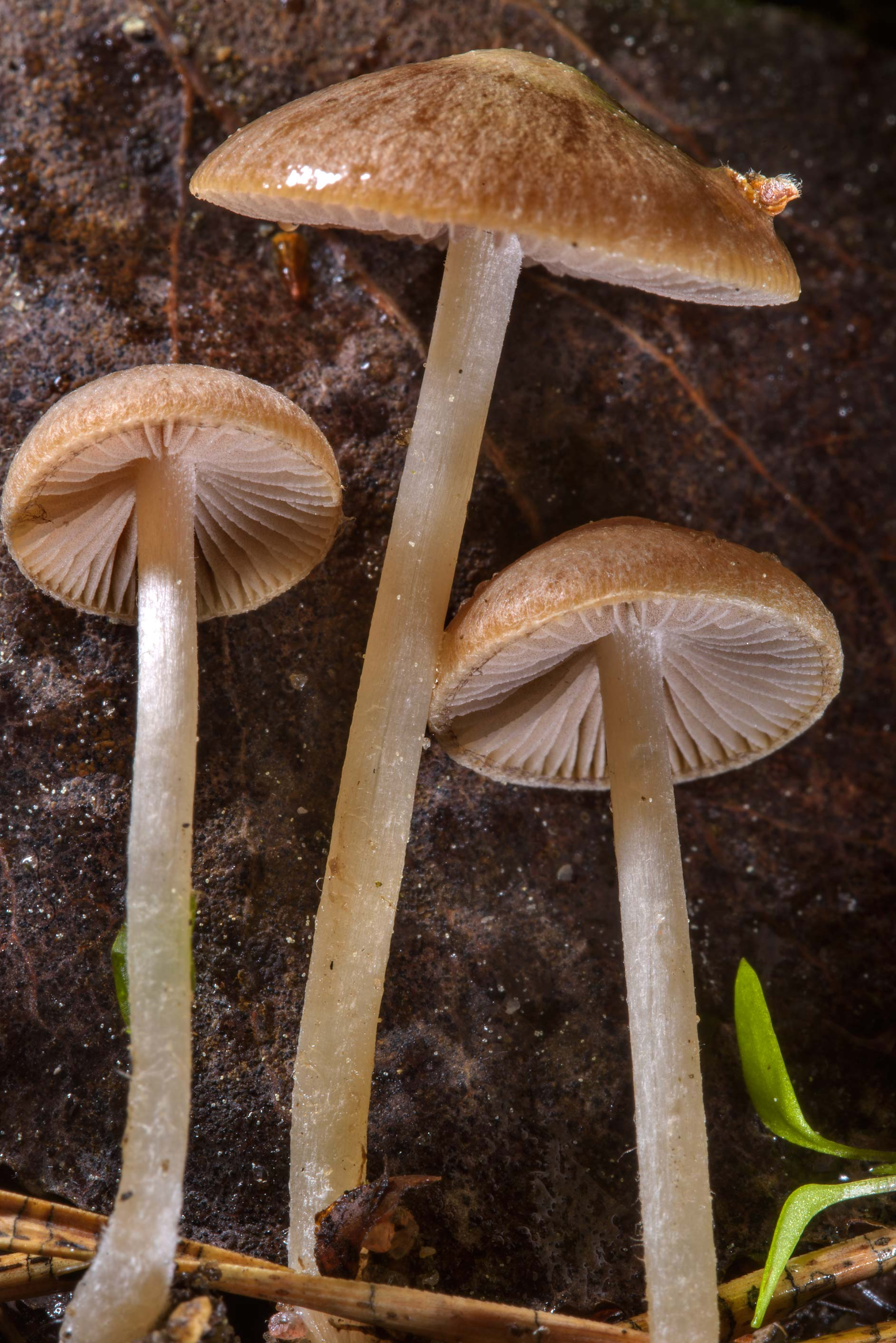 Close up of brittlestem mushrooms Psathyrella...Pesochny, near St.Petersburg. Russia
