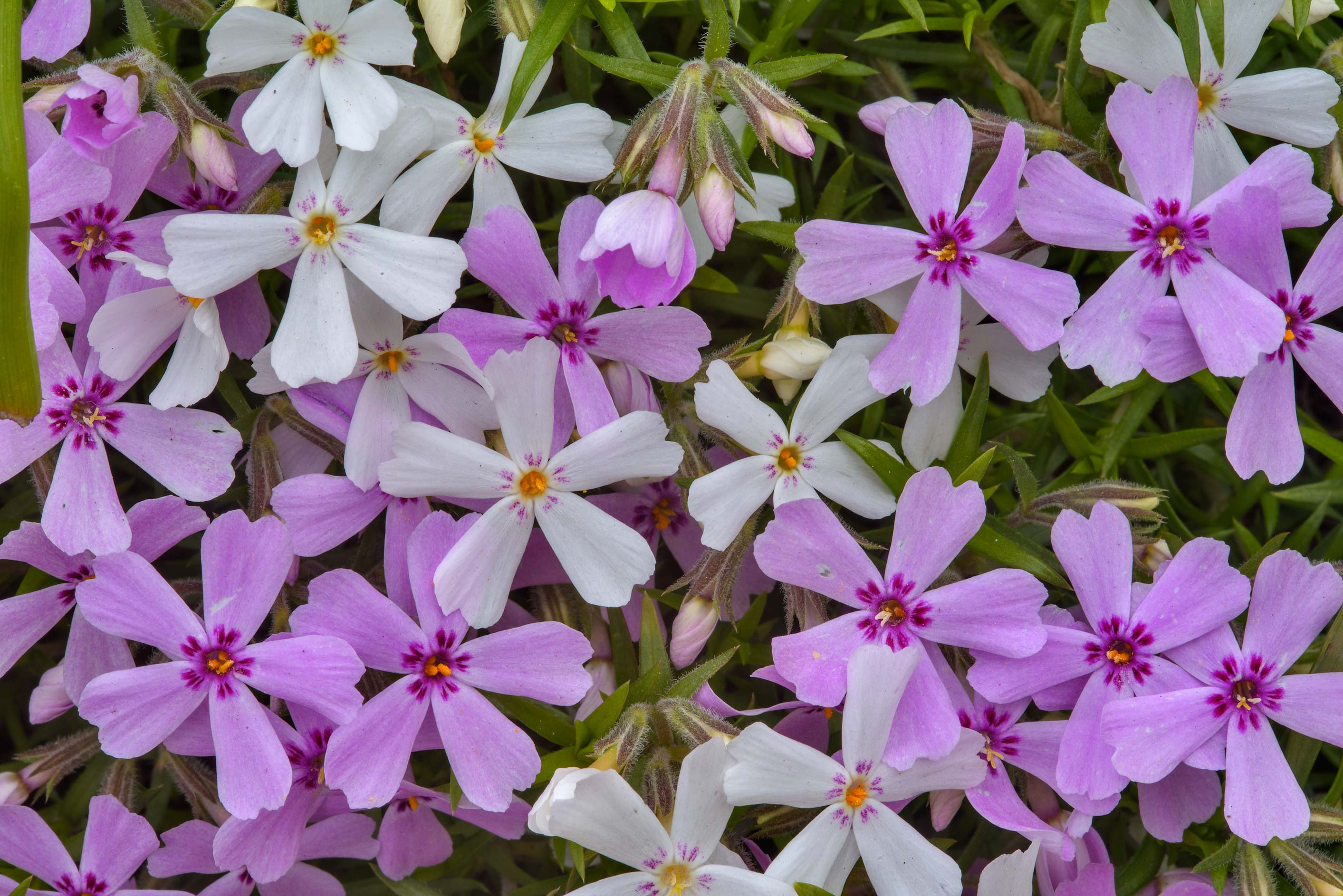 Pink and white phlox flowers in Botanic Gardens...Institute. St.Petersburg, Russia