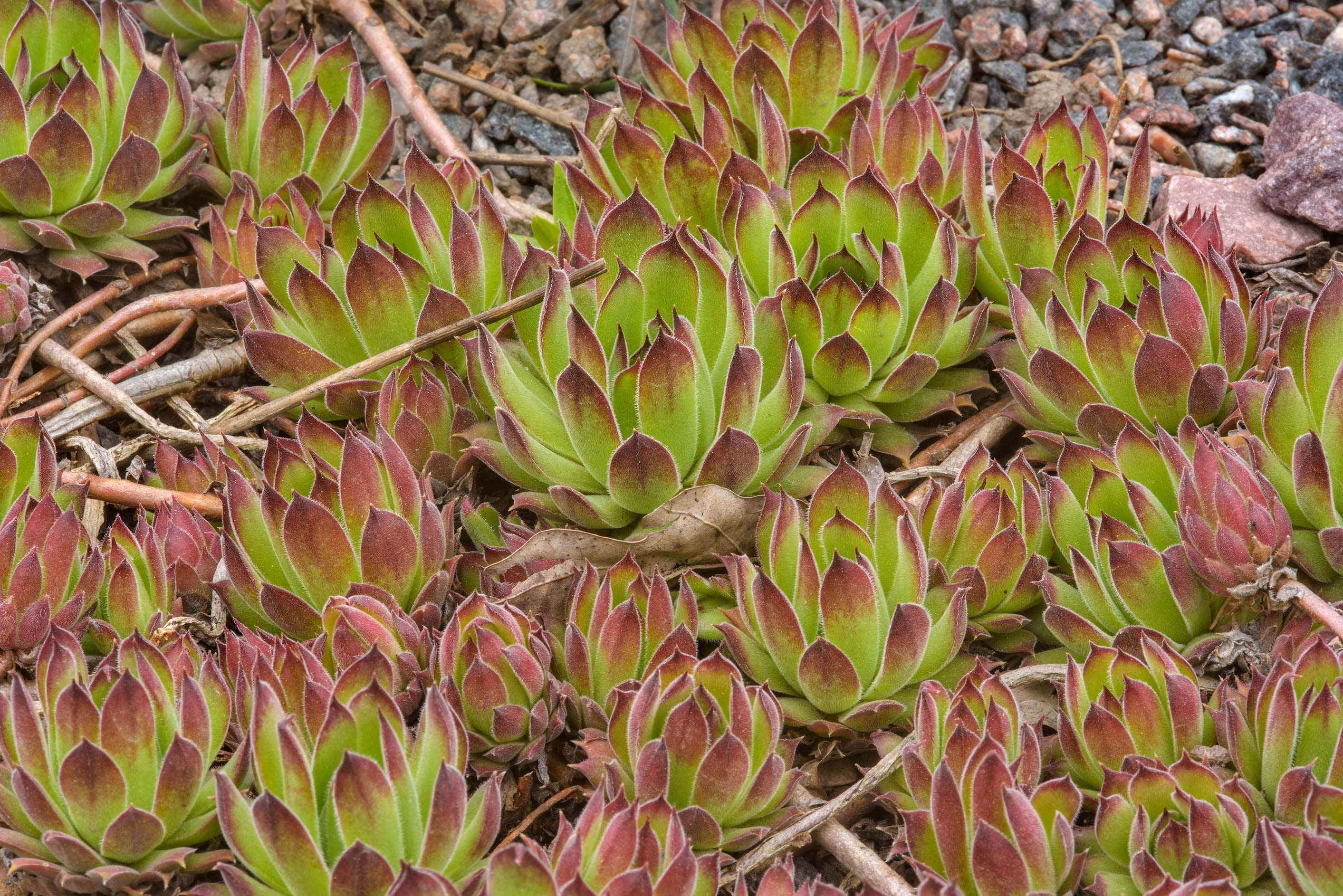 Hens and chicks (Sempervivum) in Botanic Gardens...Institute. St.Petersburg, Russia