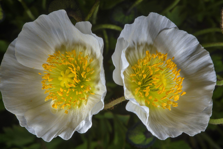 Photo 2059 16 White Poppy Flowers In Botanic Gardens Of Komarov