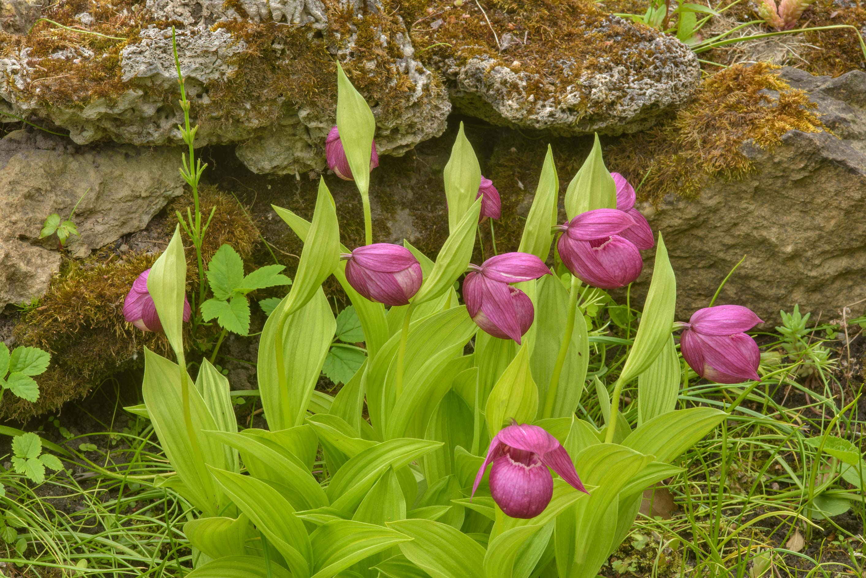 Large-flowered cypripedium (Cypripedium...Institute. St.Petersburg, Russia