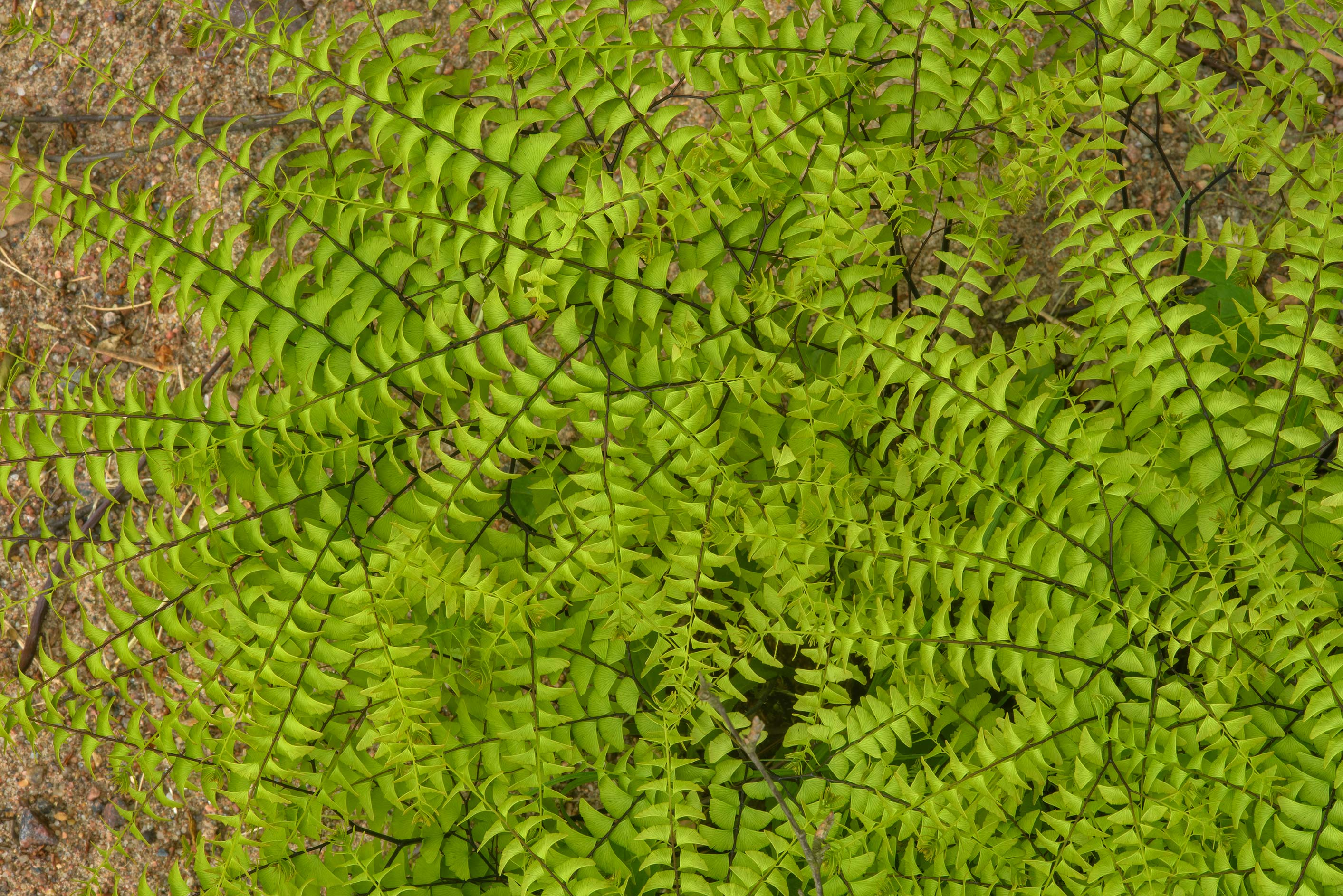 Leaves of northern maidenhair fern (Adiantum...Institute. St.Petersburg, Russia