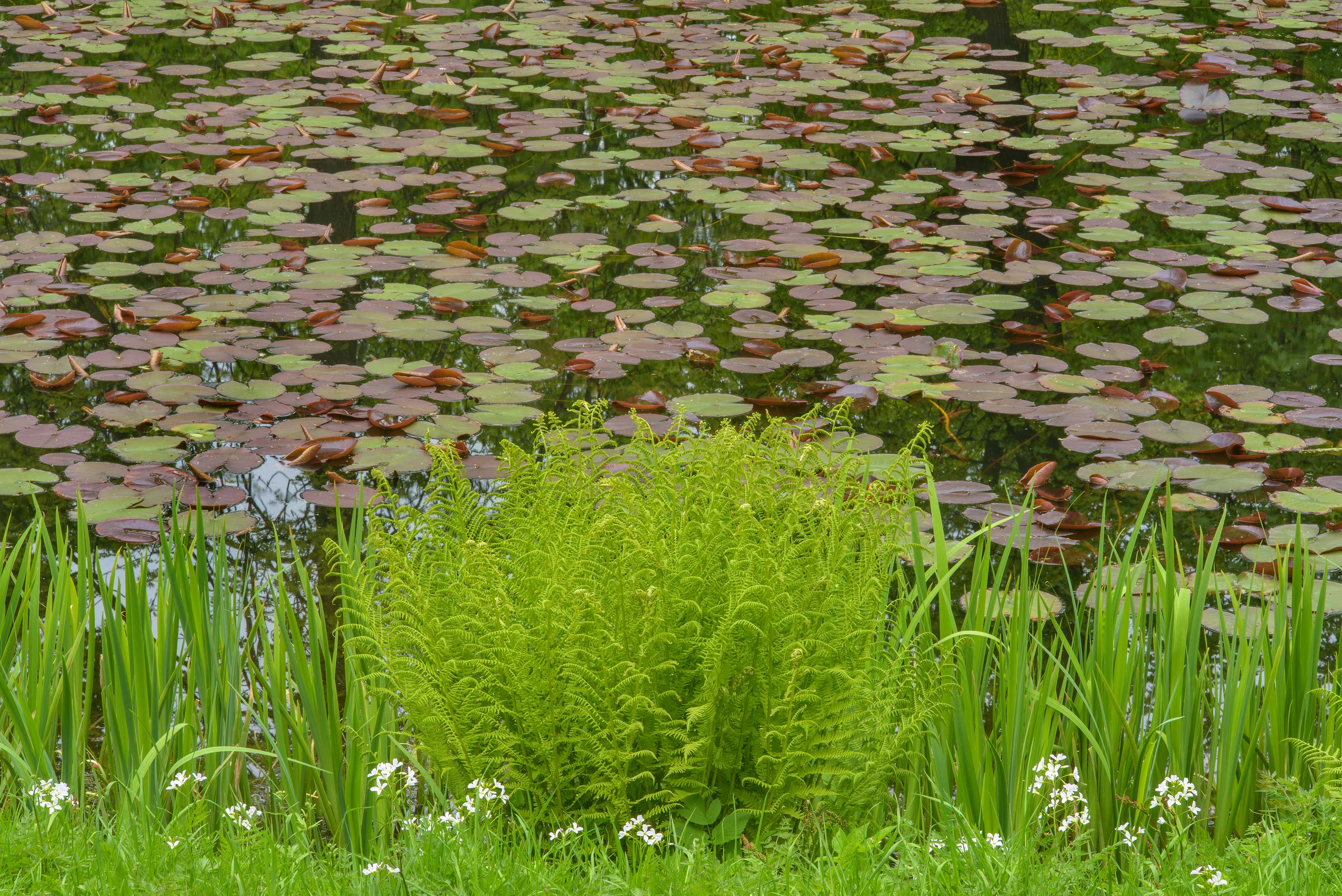 Lily pond in Botanic Gardens of Komarov Botanical Institute. St.Petersburg, Russia