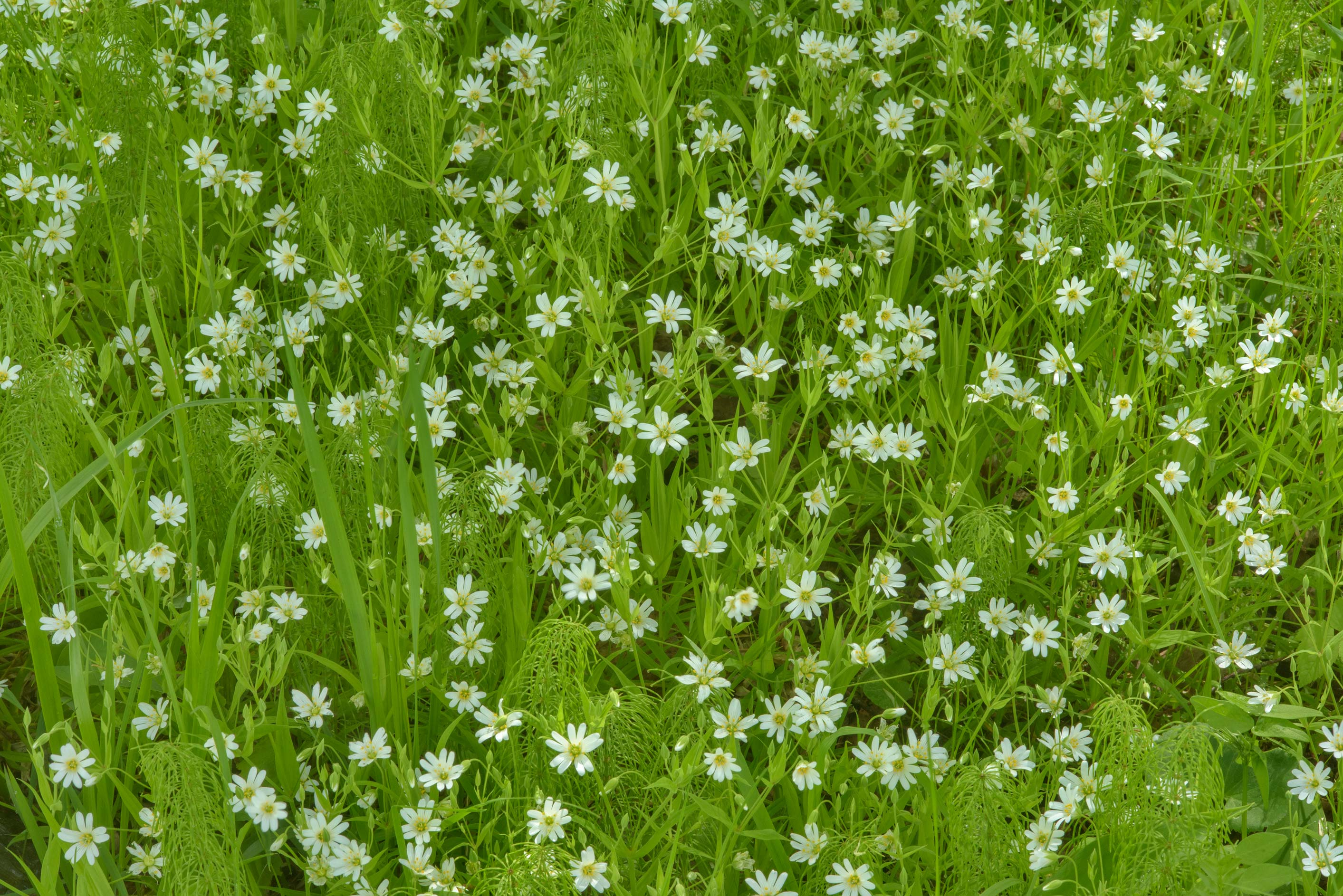 Field mouse-ear (Cerastium arvense, Russian name...suburb of St.Petersburg, Russia