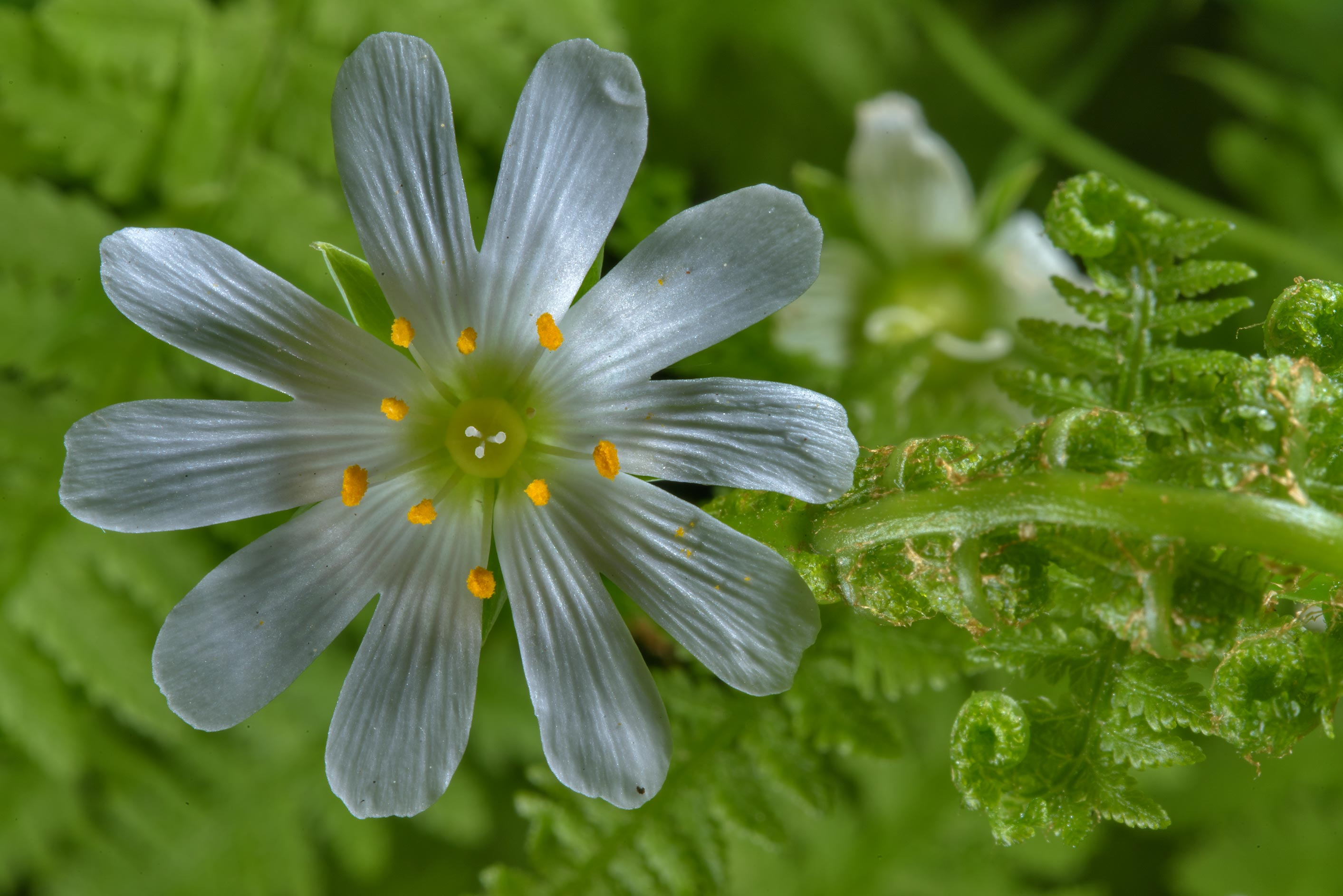 Stellaria flower with ferns in Udelny Park. St.Petersburg, Russia