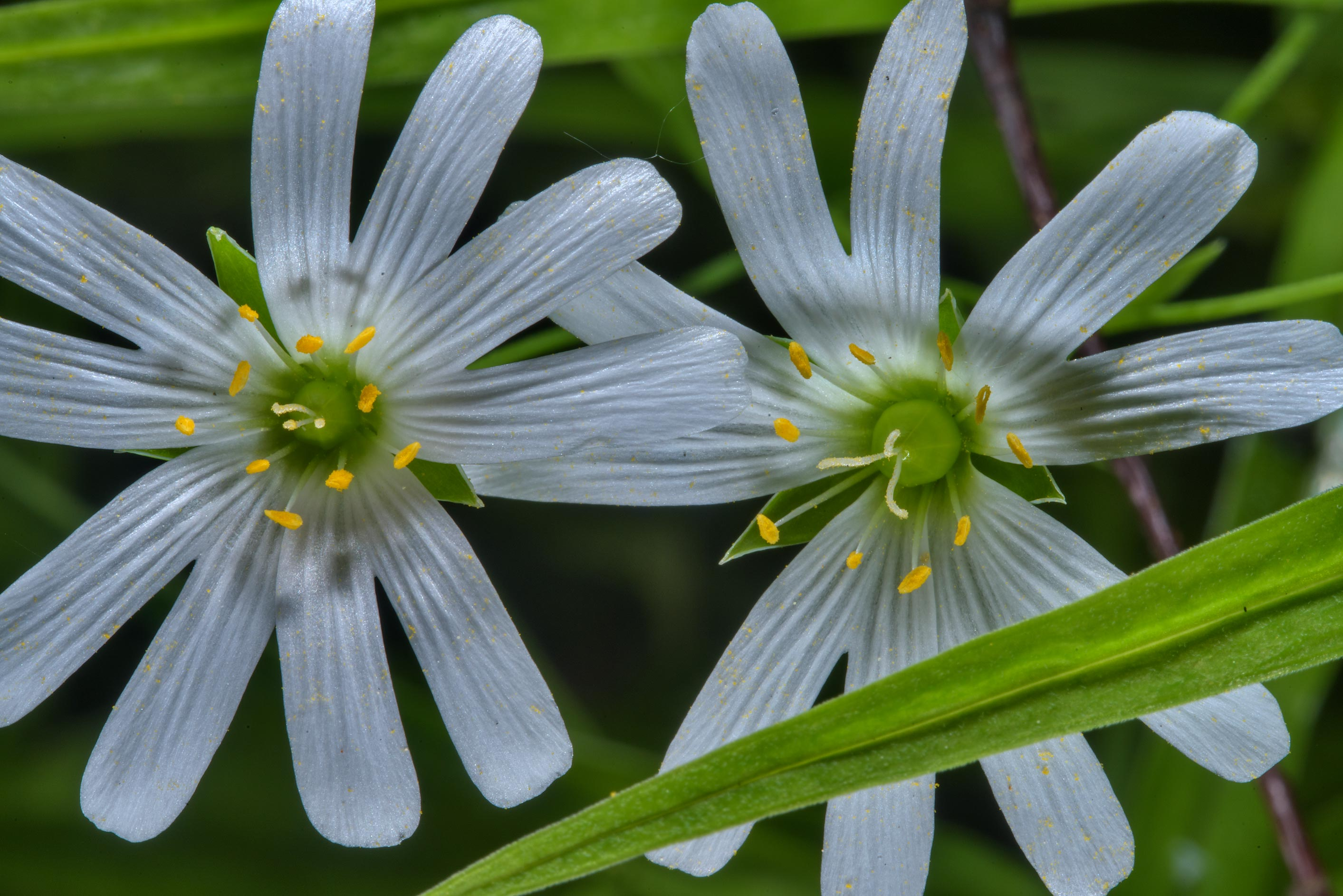 Pair of Stellaria flowers in Udelny Park. St.Petersburg, Russia