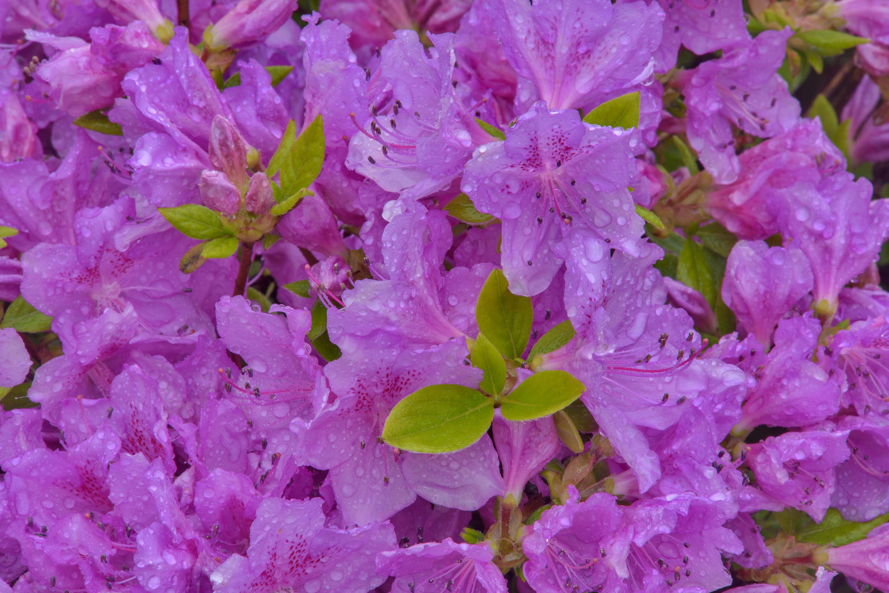 Azalea Rhododendron haaga in Botanic Gardens of...Institute. St.Petersburg, Russia