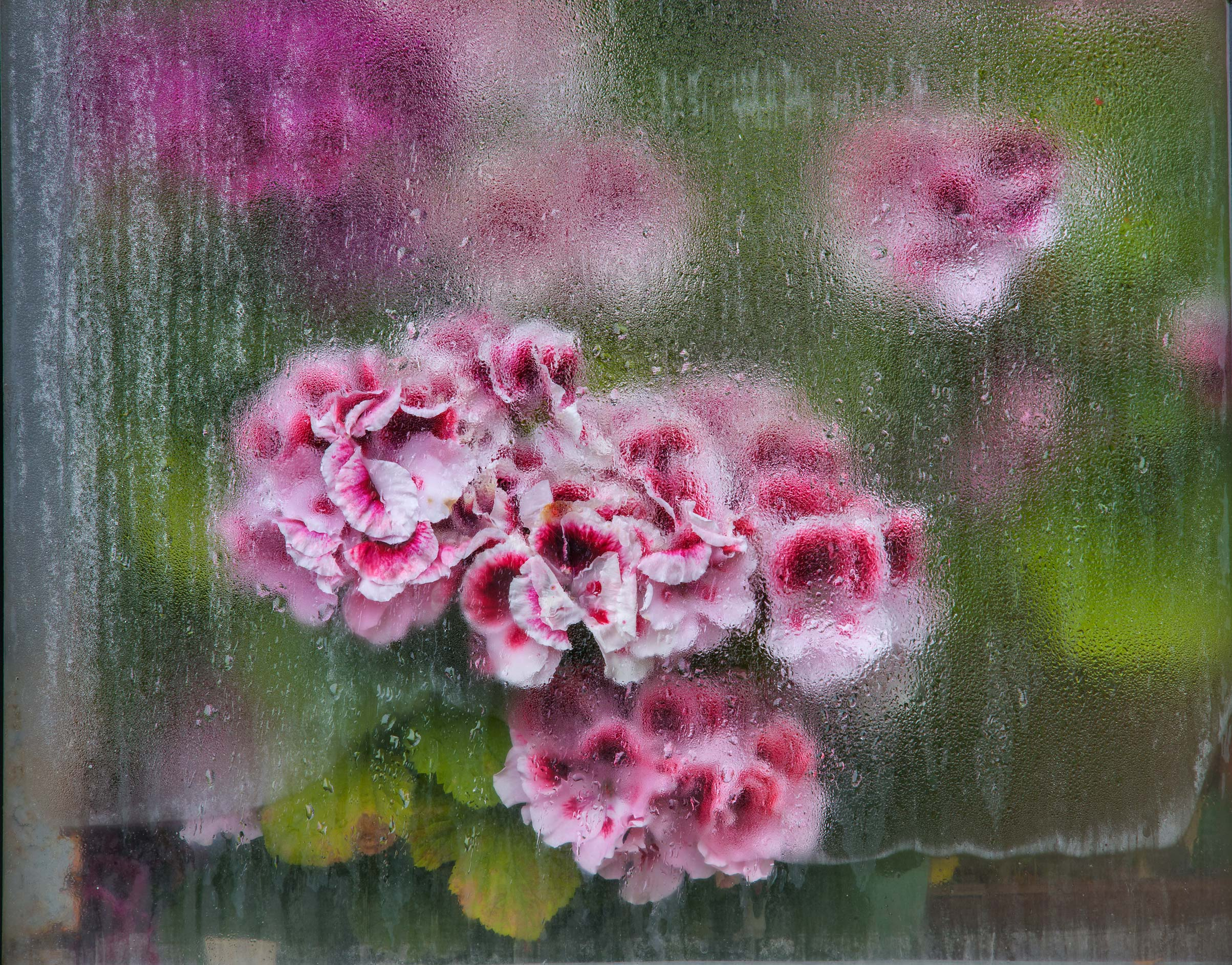 Pelargonium behind glass of greenhouse in Botanic...Institute. St.Petersburg, Russia