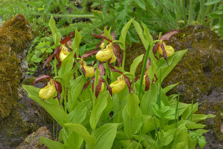 Photo 2063 25 Yellow Ladys Slipper Orchid Cypripediumstitute