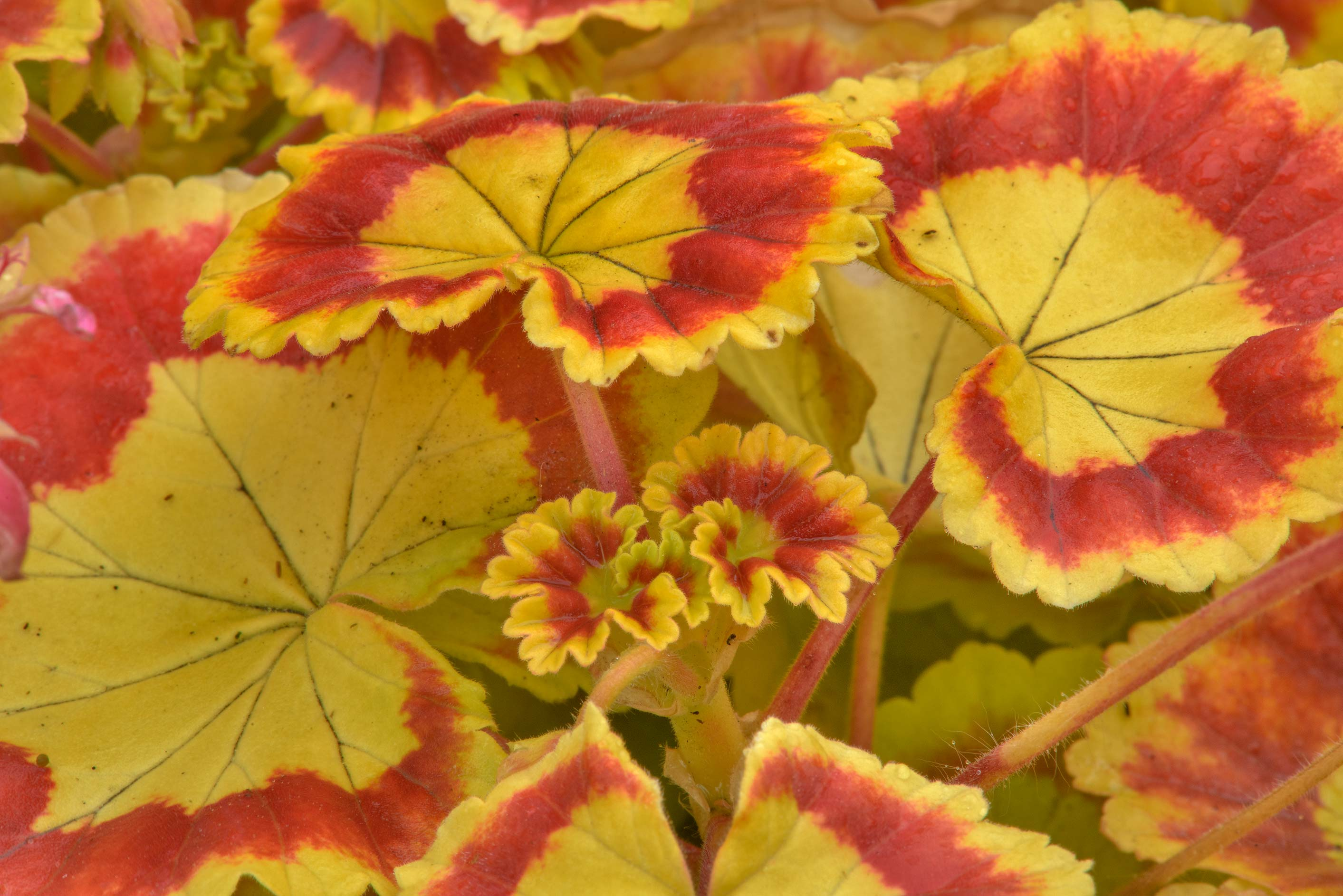 Orange leaves of pelargonia in Botanic Gardens of...Institute. St.Petersburg, Russia