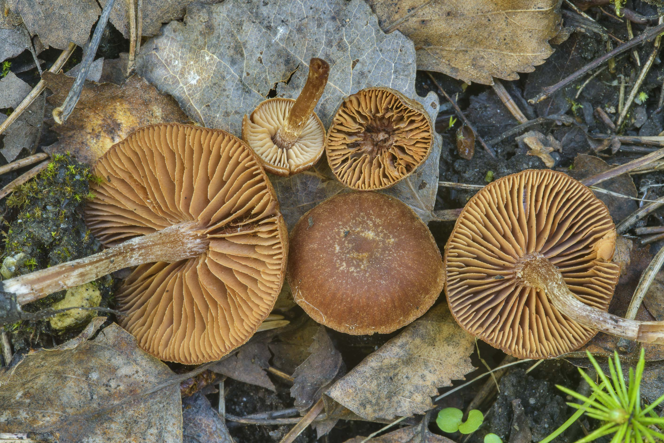 Small brown Tephrocybe mushrooms on roadside near...suburb of St.Petersburg. Russia