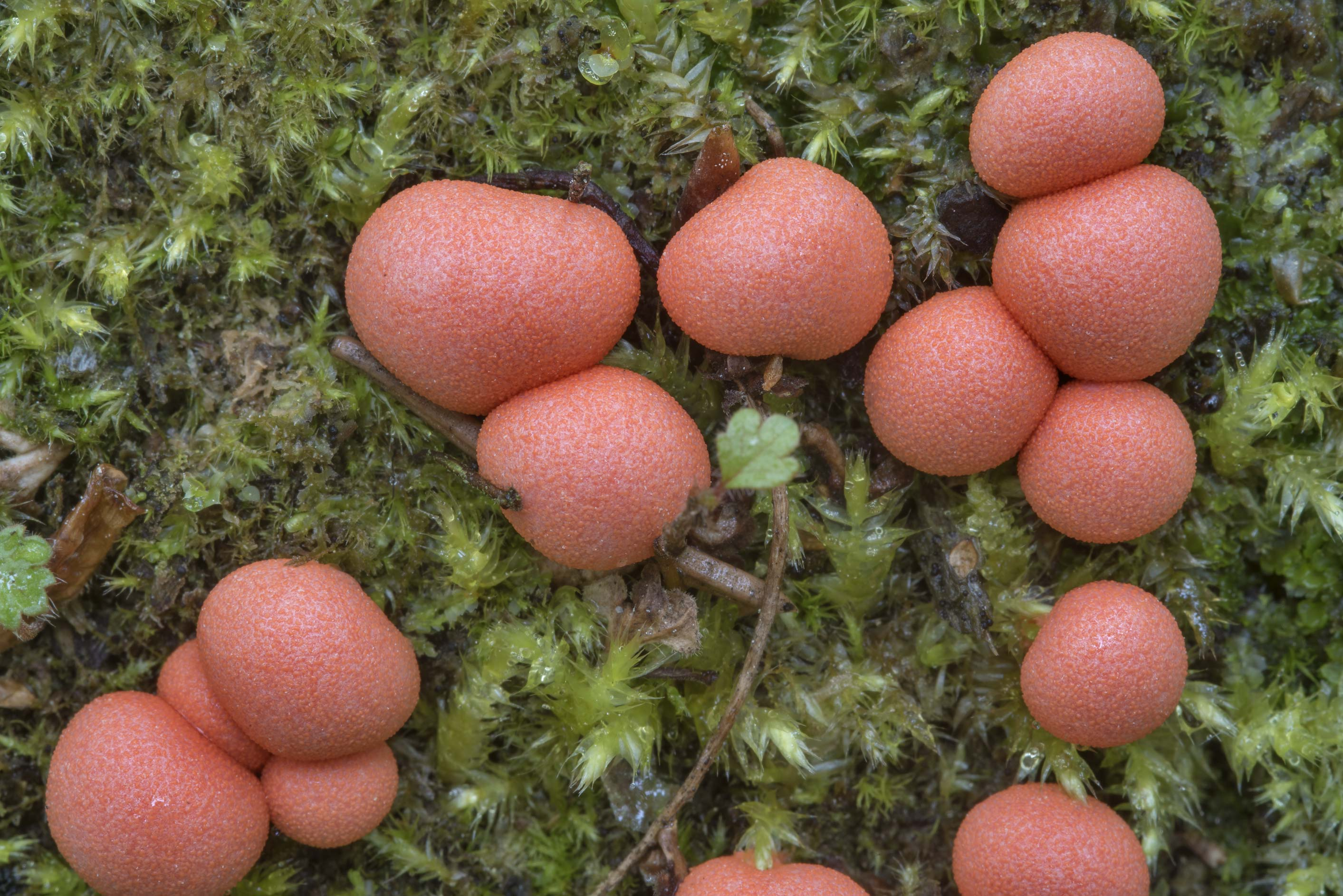 Wolf's milk slime mold (Lycogala epidendrum) near Olgino, west from St.Petersburg. Russia
