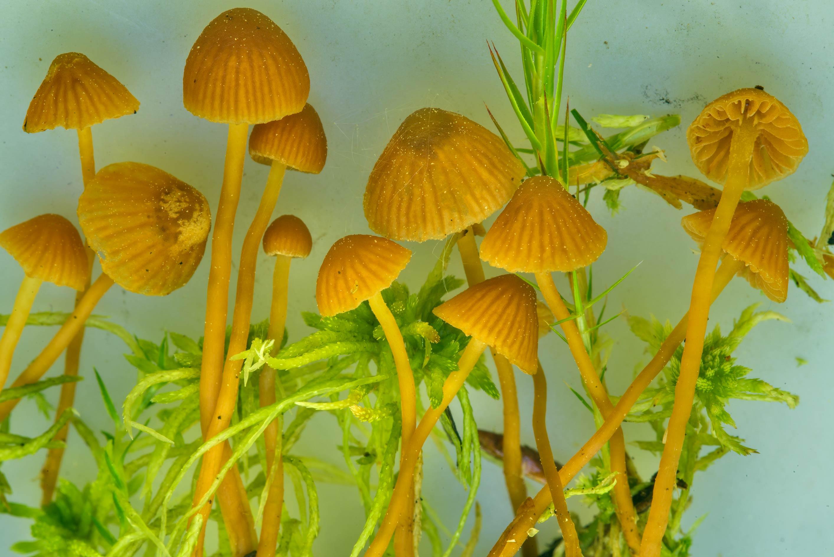 Galerina tibiicystis mushrooms in moss near...north from St.Petersburg, Russia