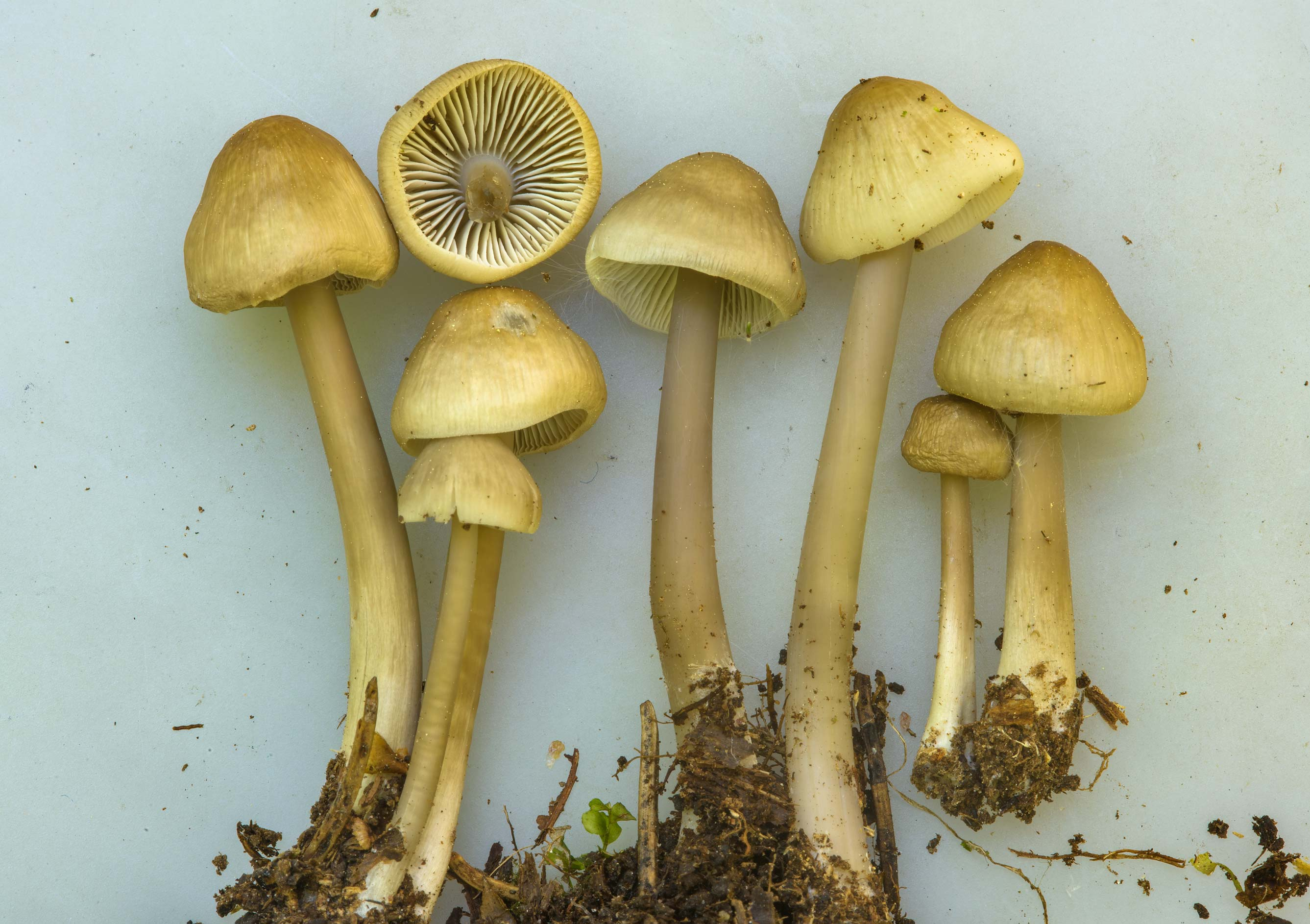 Close up of common bonnet mushrooms (Mycena...north from St.Petersburg, Russia
