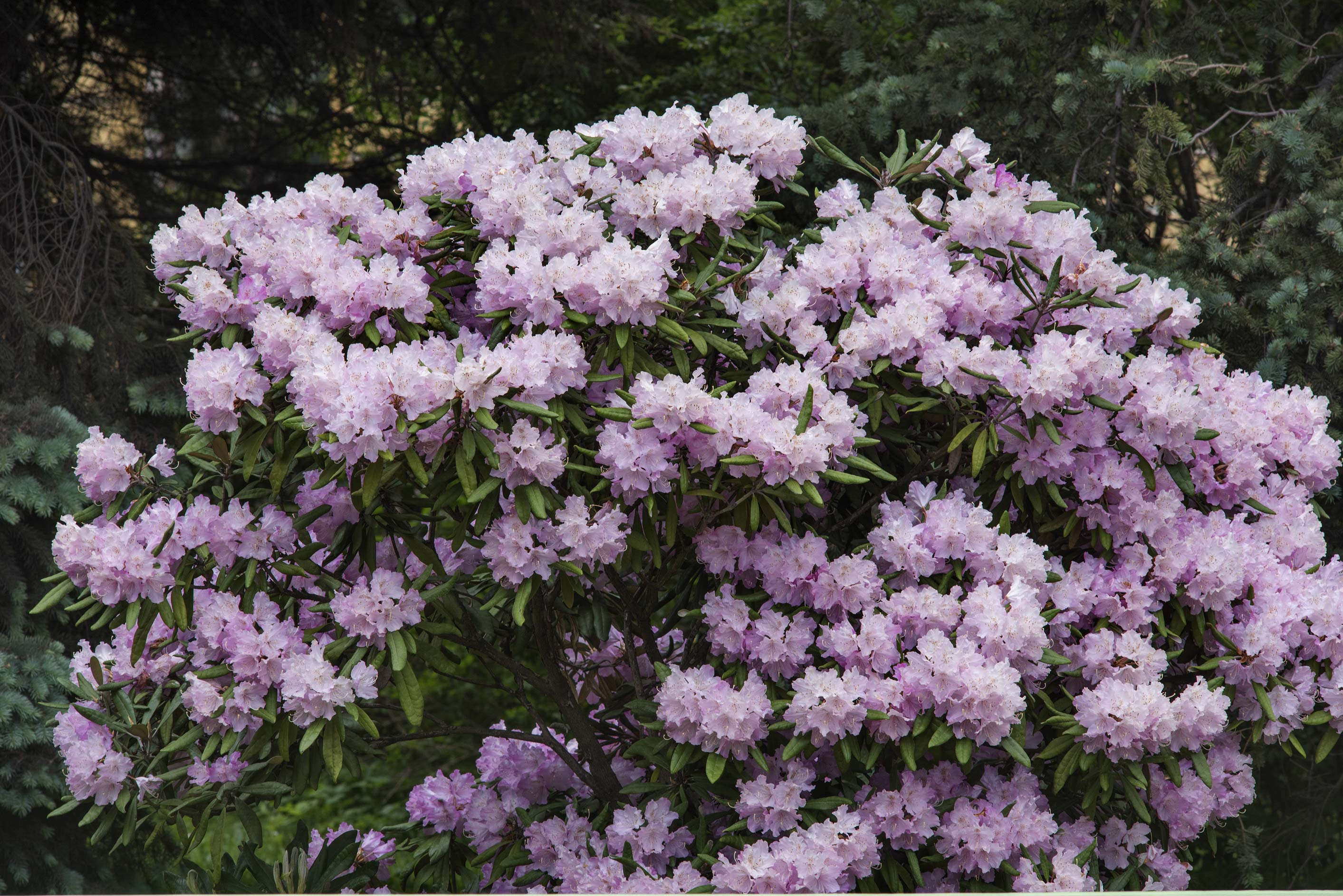 Masses of flowers of pink azalea (Rhododendron...Institute. St.Petersburg, Russia