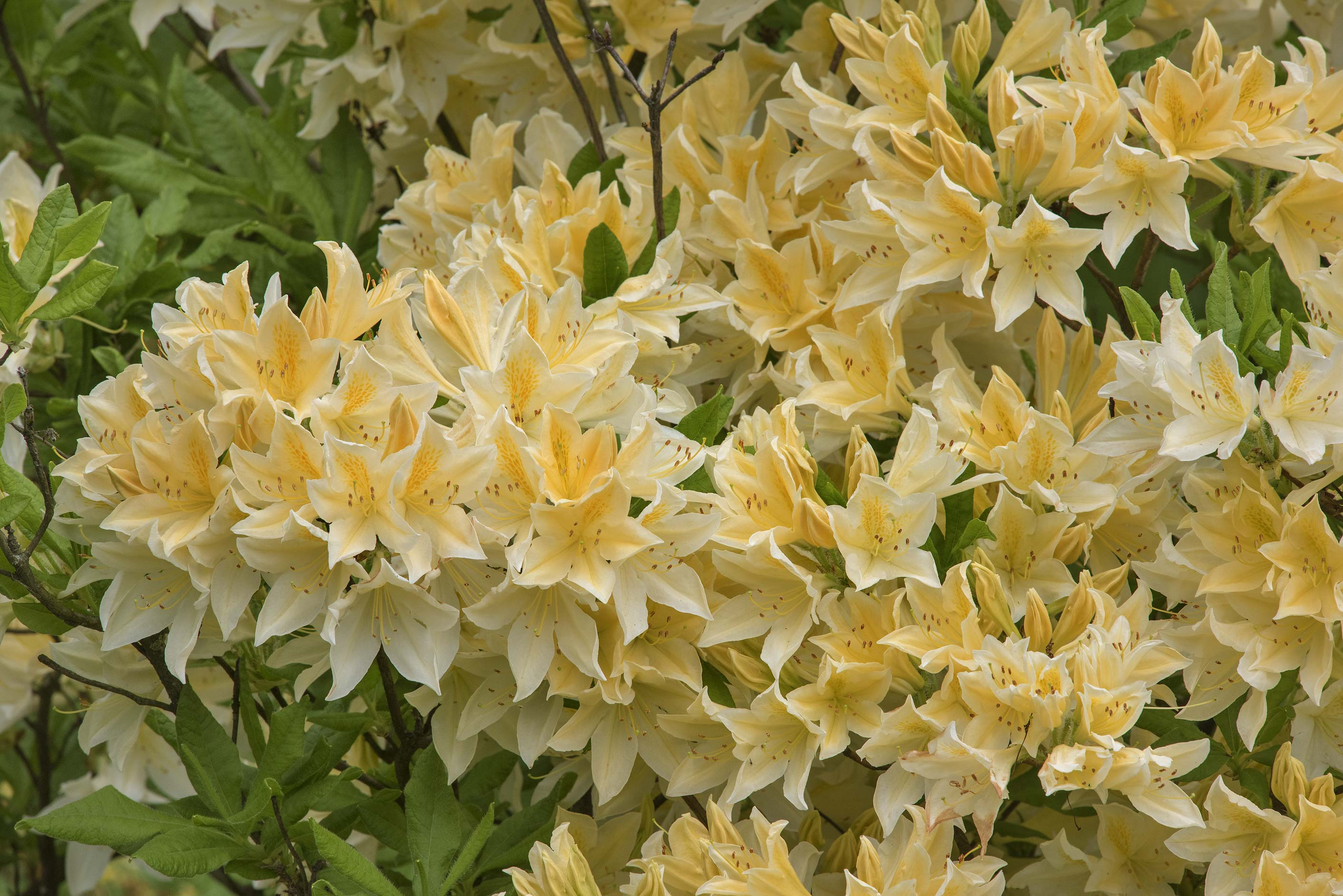 Masses of yellow flowers of azalea (Rhododendron...Institute. St.Petersburg, Russia