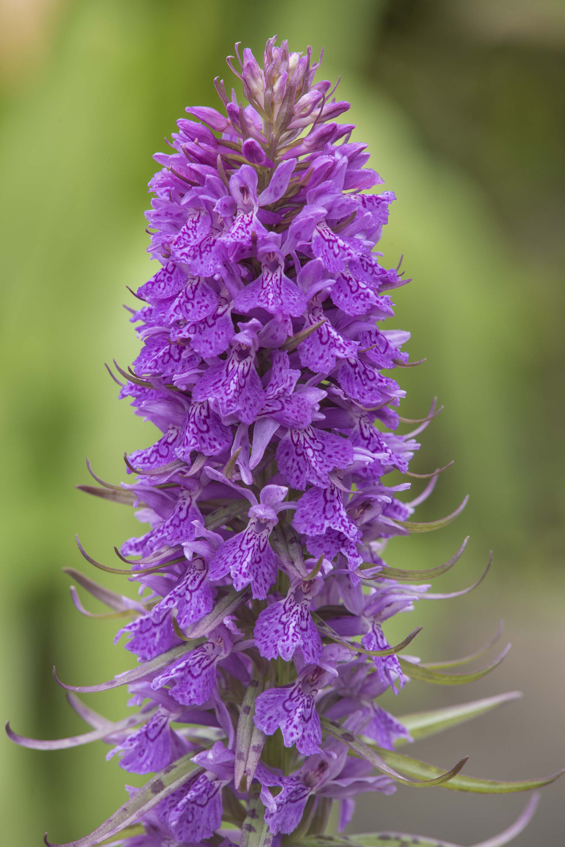 Flower of a marsh orchid in Botanic Gardens of...Institute. St.Petersburg, Russia