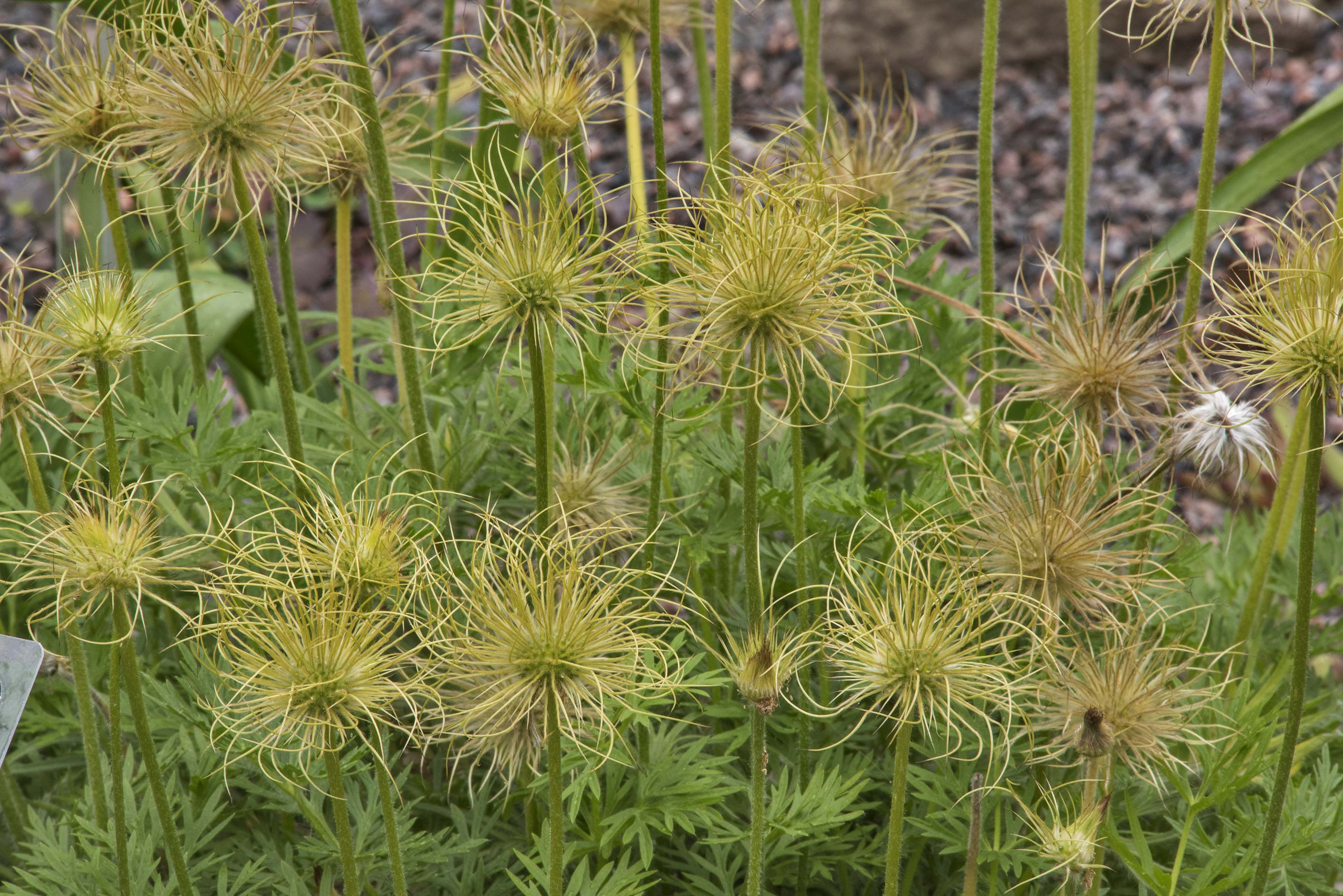 Seeds of pasque flower (Pulsatilla) in Botanic...Institute. St.Petersburg, Russia
