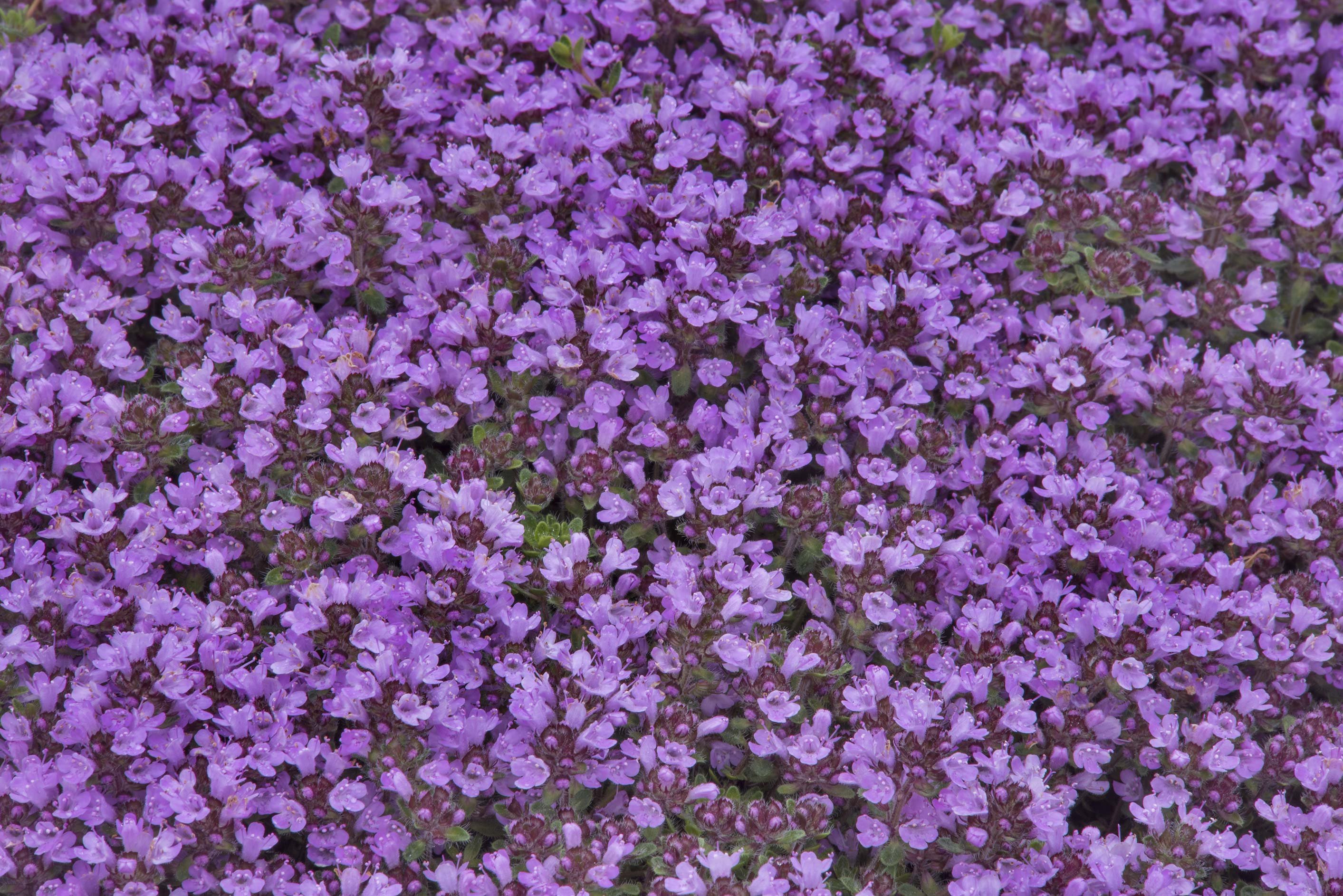 Flowers of thyme in Botanic Gardens of Komarov Botanical Institute. St.Petersburg, Russia