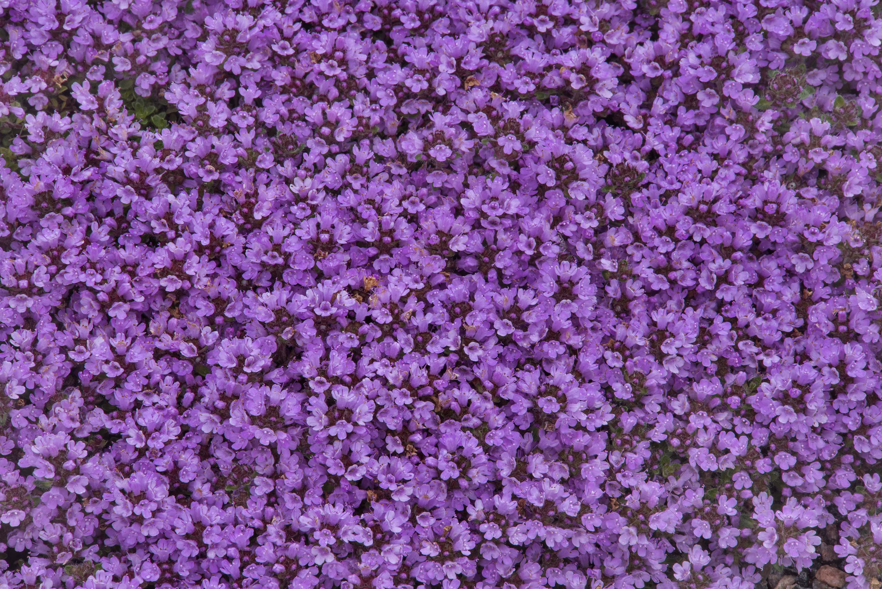 Carpet of flowers of thyme in Botanic Gardens of...Institute. St.Petersburg, Russia